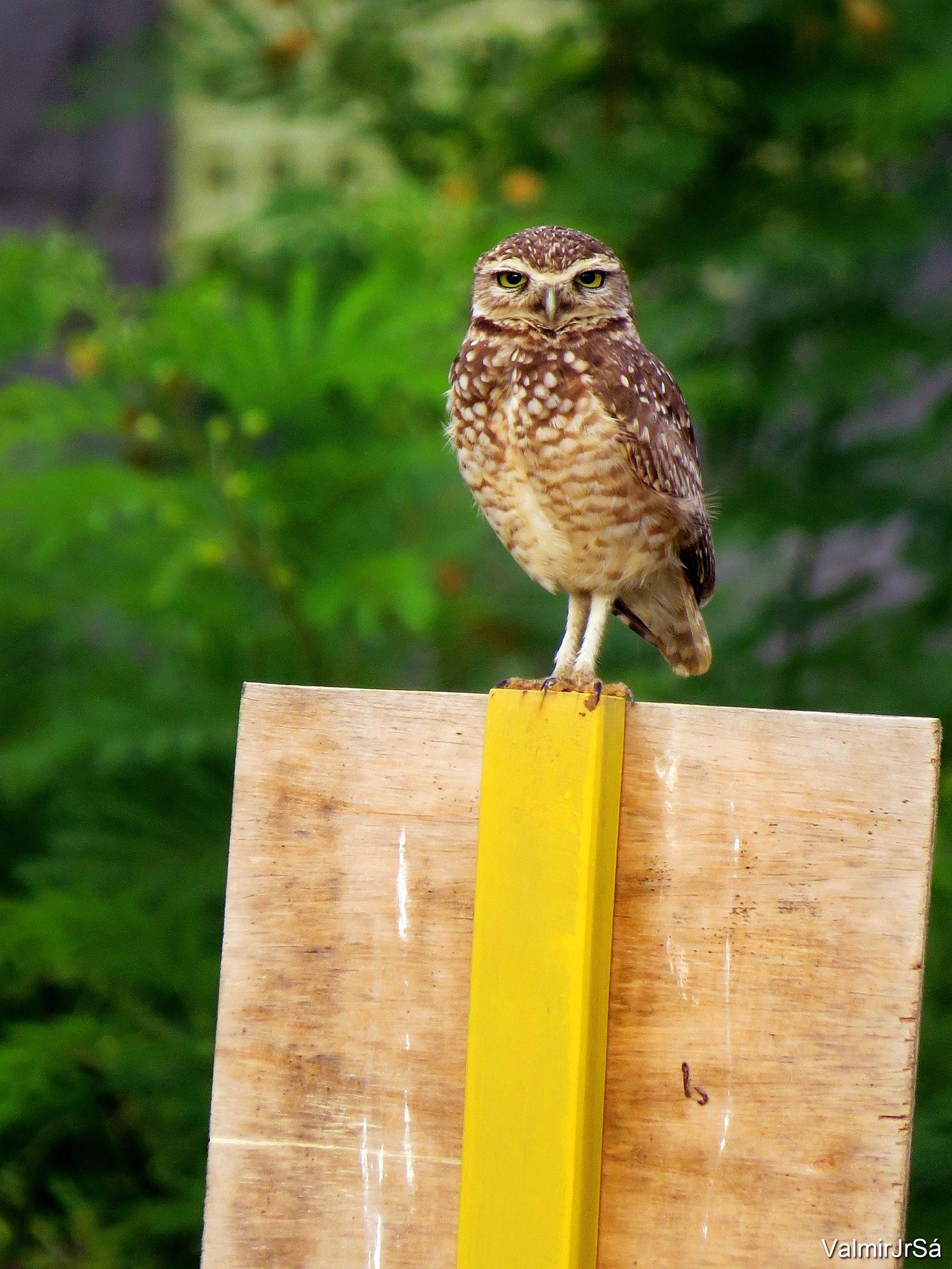 Coruja | Owl by Valmir Junior Sá