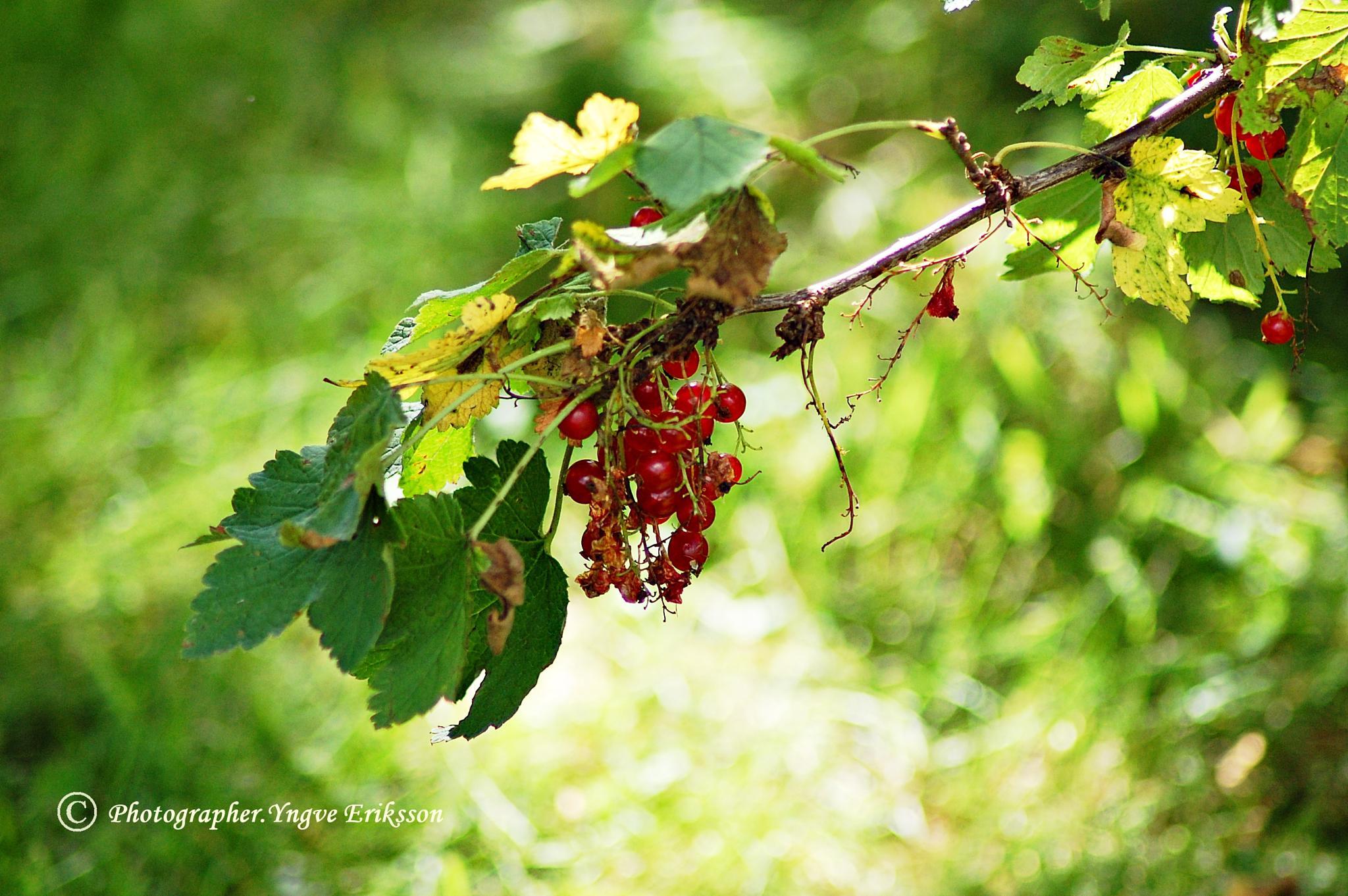 Röda vinbär by yngve.eriksson.5