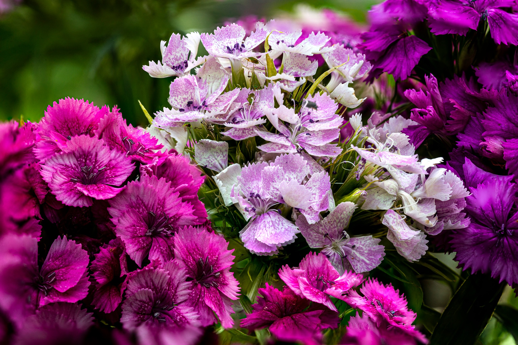 Carnations by carljan w carlsson