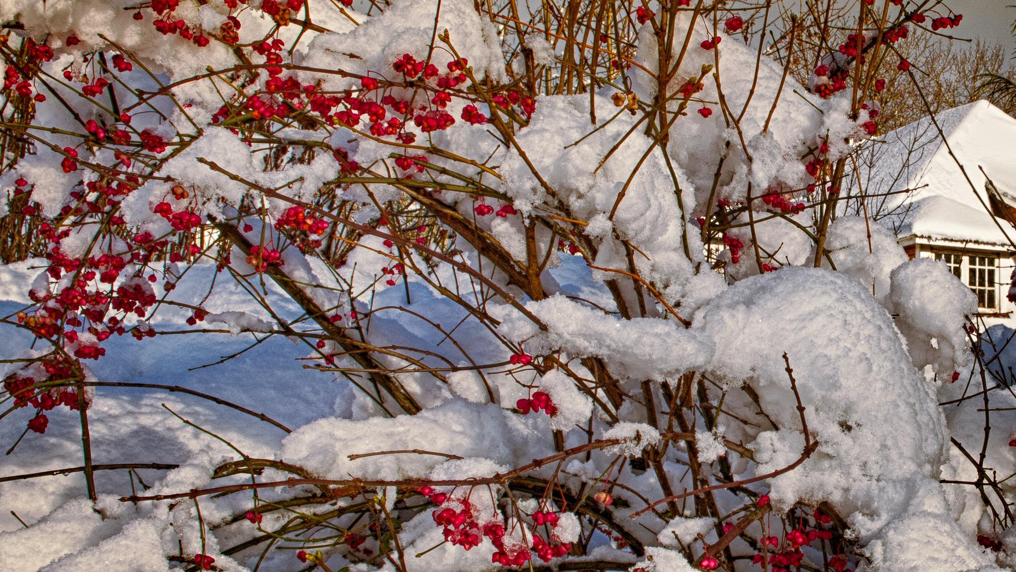 Euonymus in Snow by carljan w carlsson