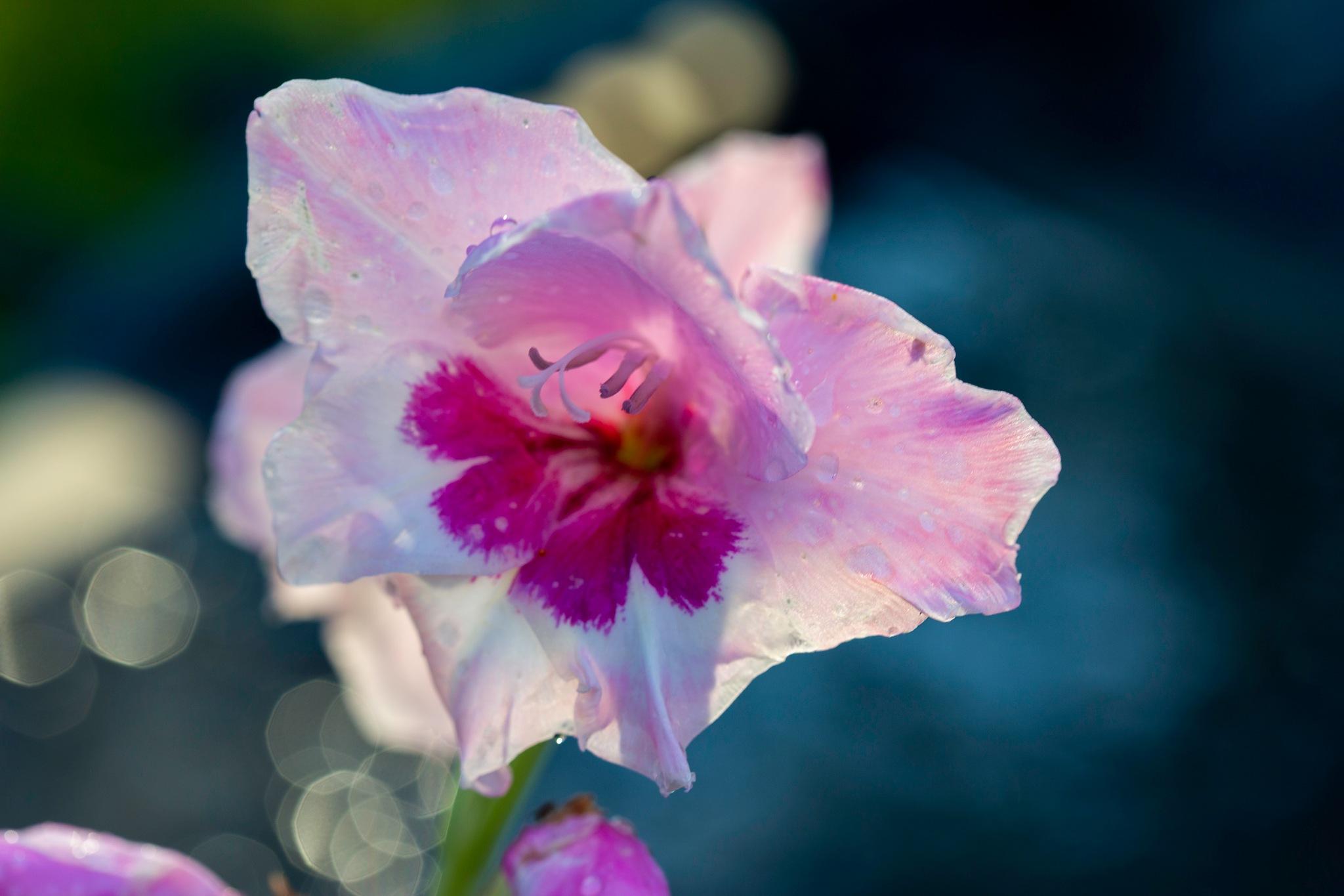 Gladiolus after the Rain by carljan w carlsson