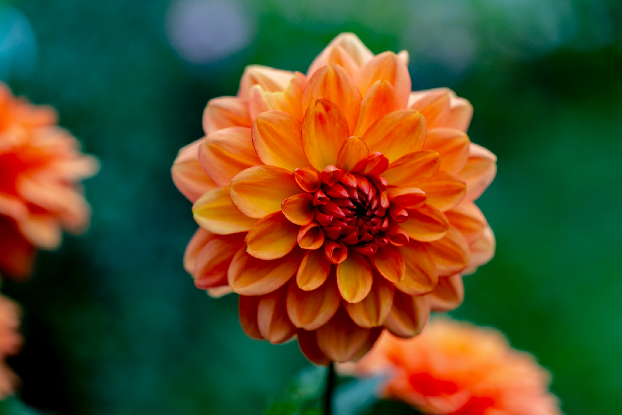 Dahlia in September III by carljan w carlsson