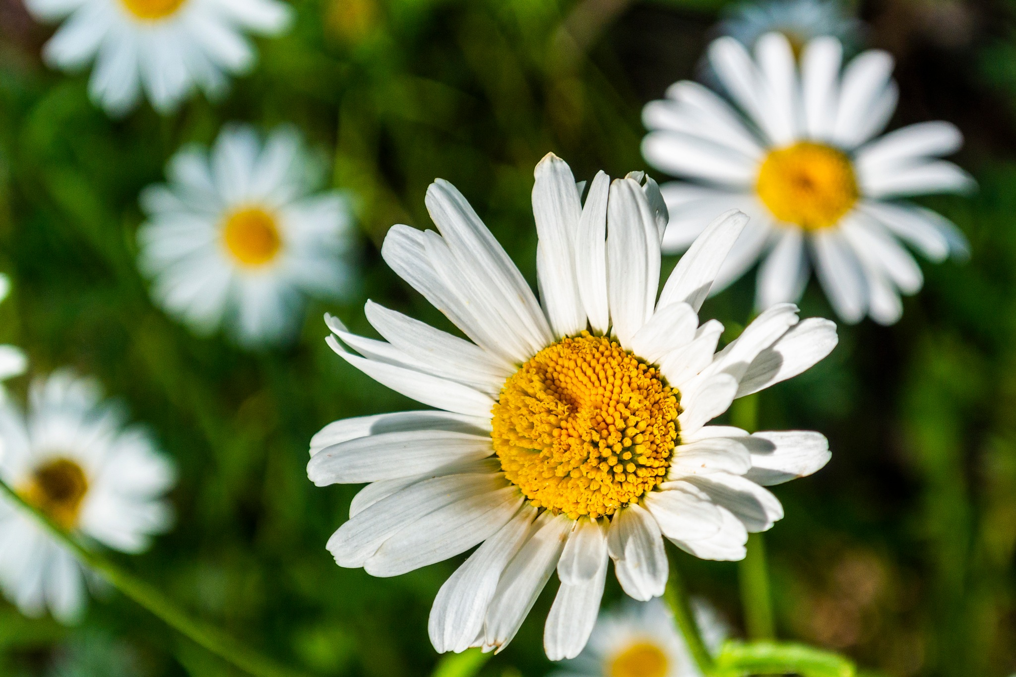 Daisy by carljan w carlsson