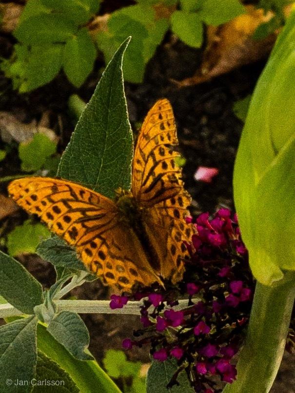 Butterfly and Buddleia by carljan w carlsson