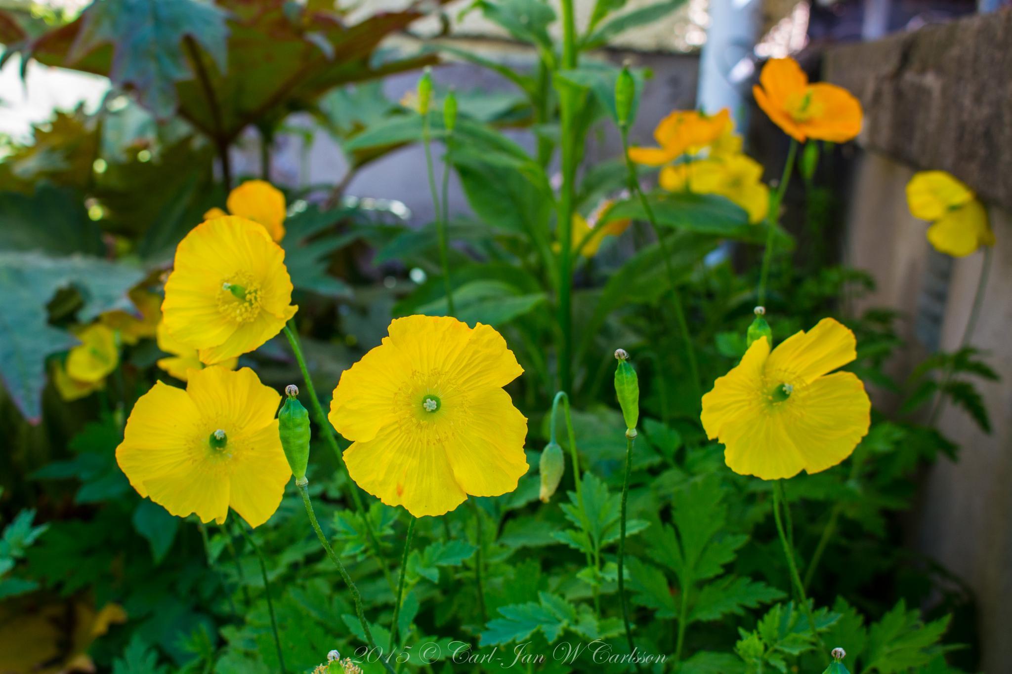 Yellow Poppies by carljan w carlsson