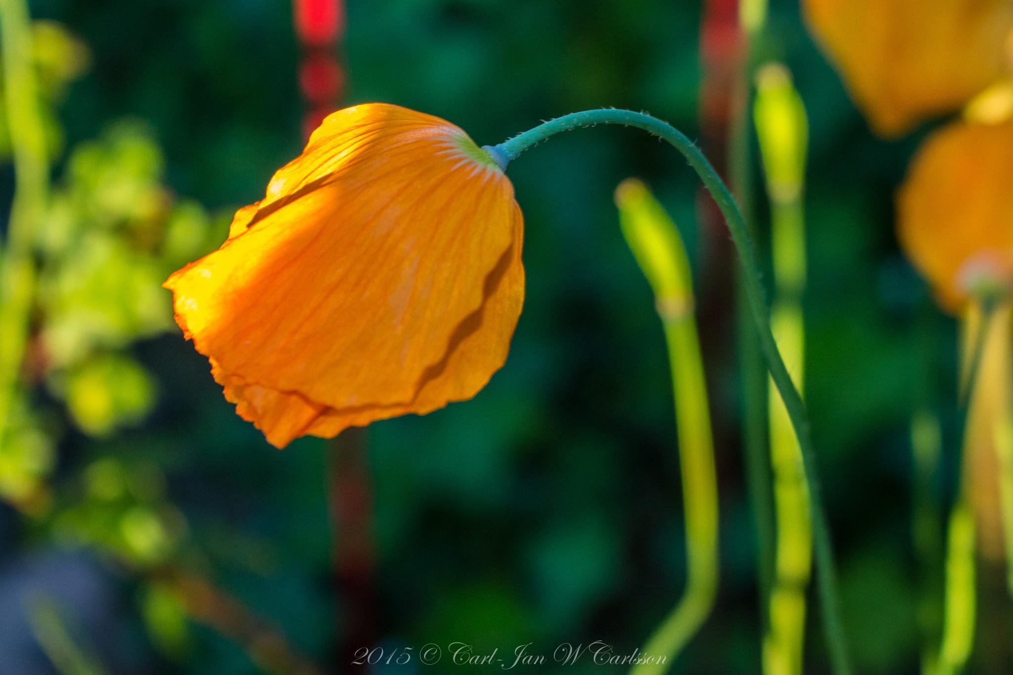 Orange Poppy 2 by carljan w carlsson