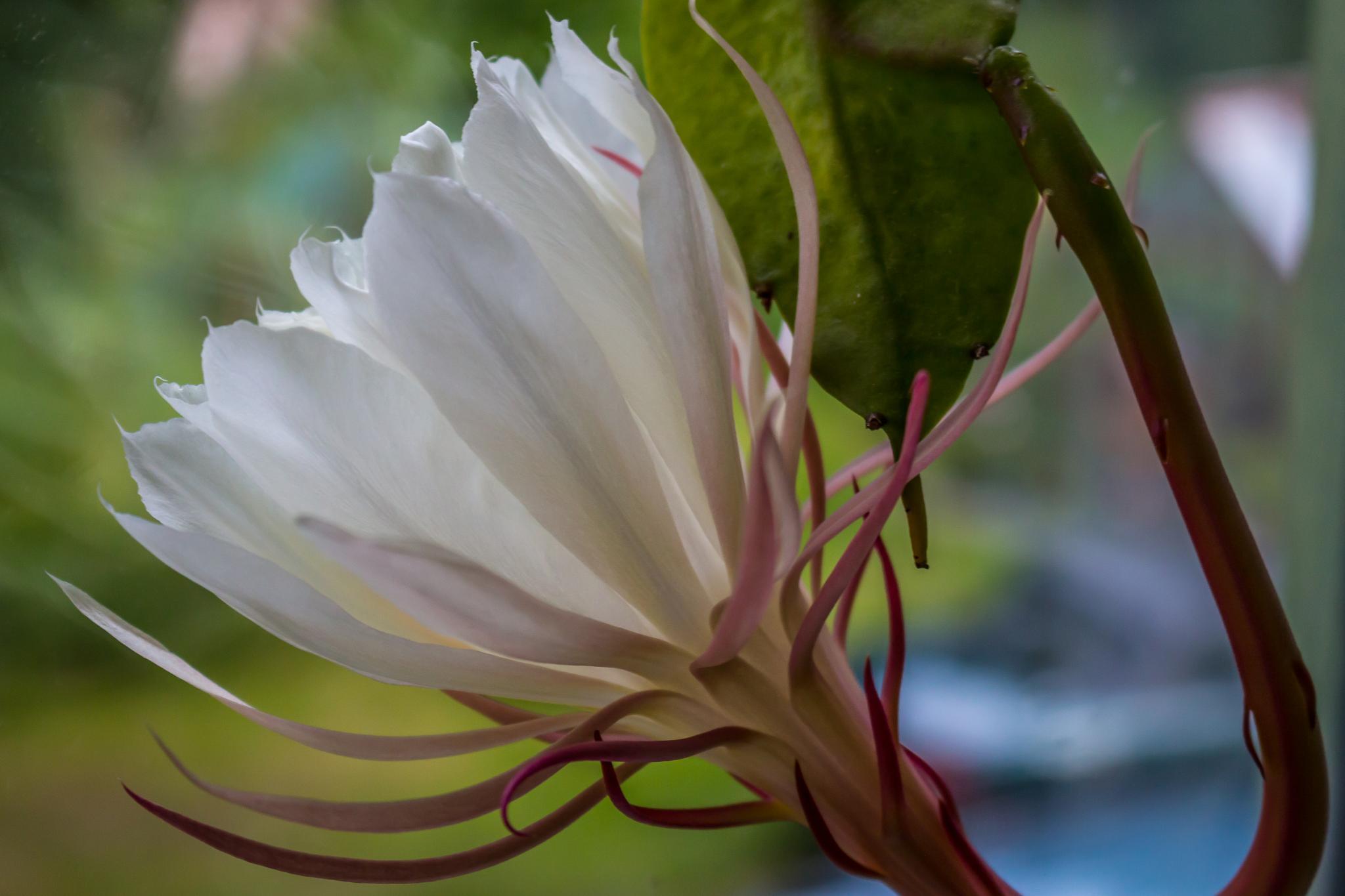 Pond Lily Cactus by carljan w carlsson