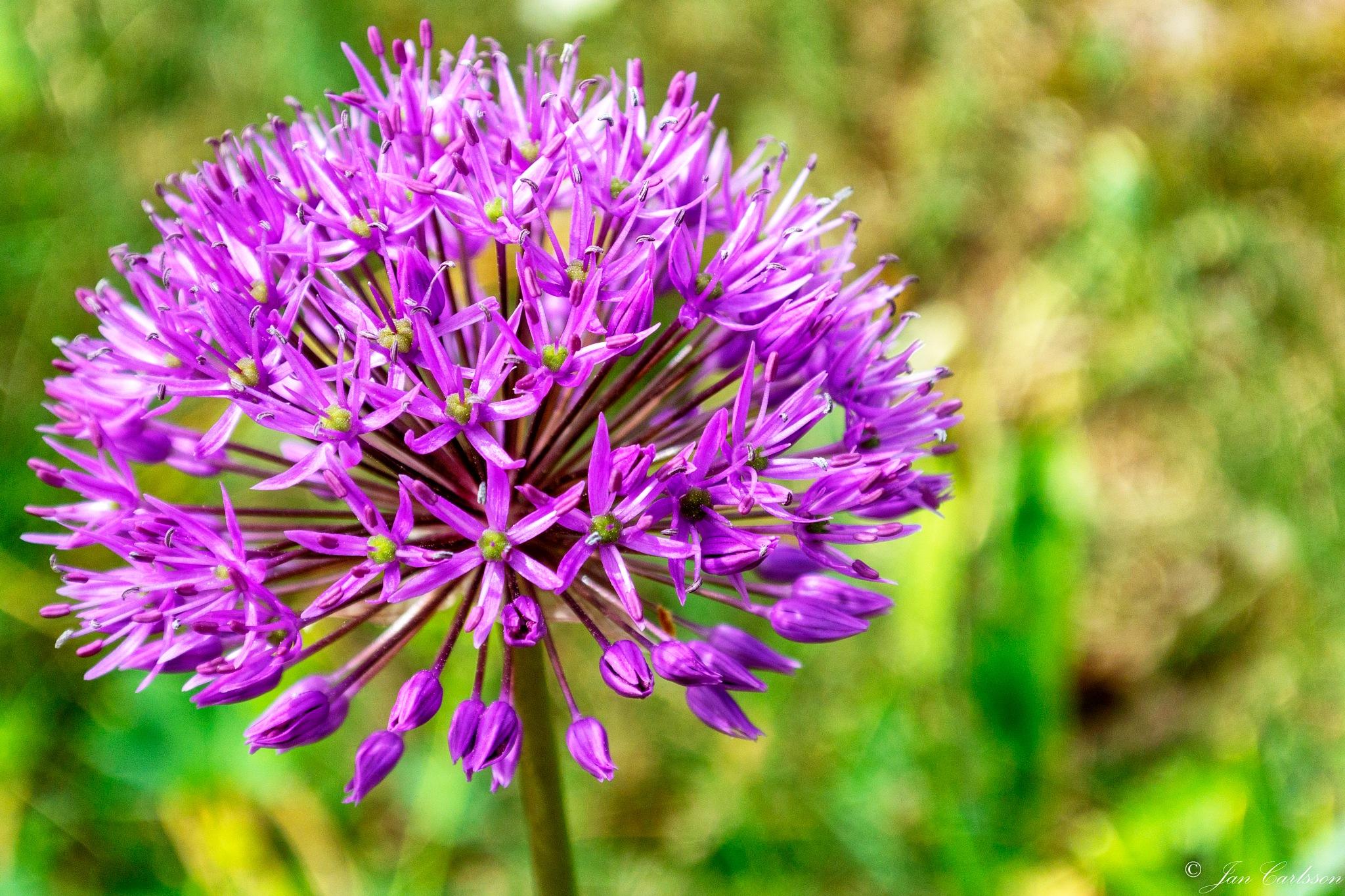 Allium by carljan w carlsson