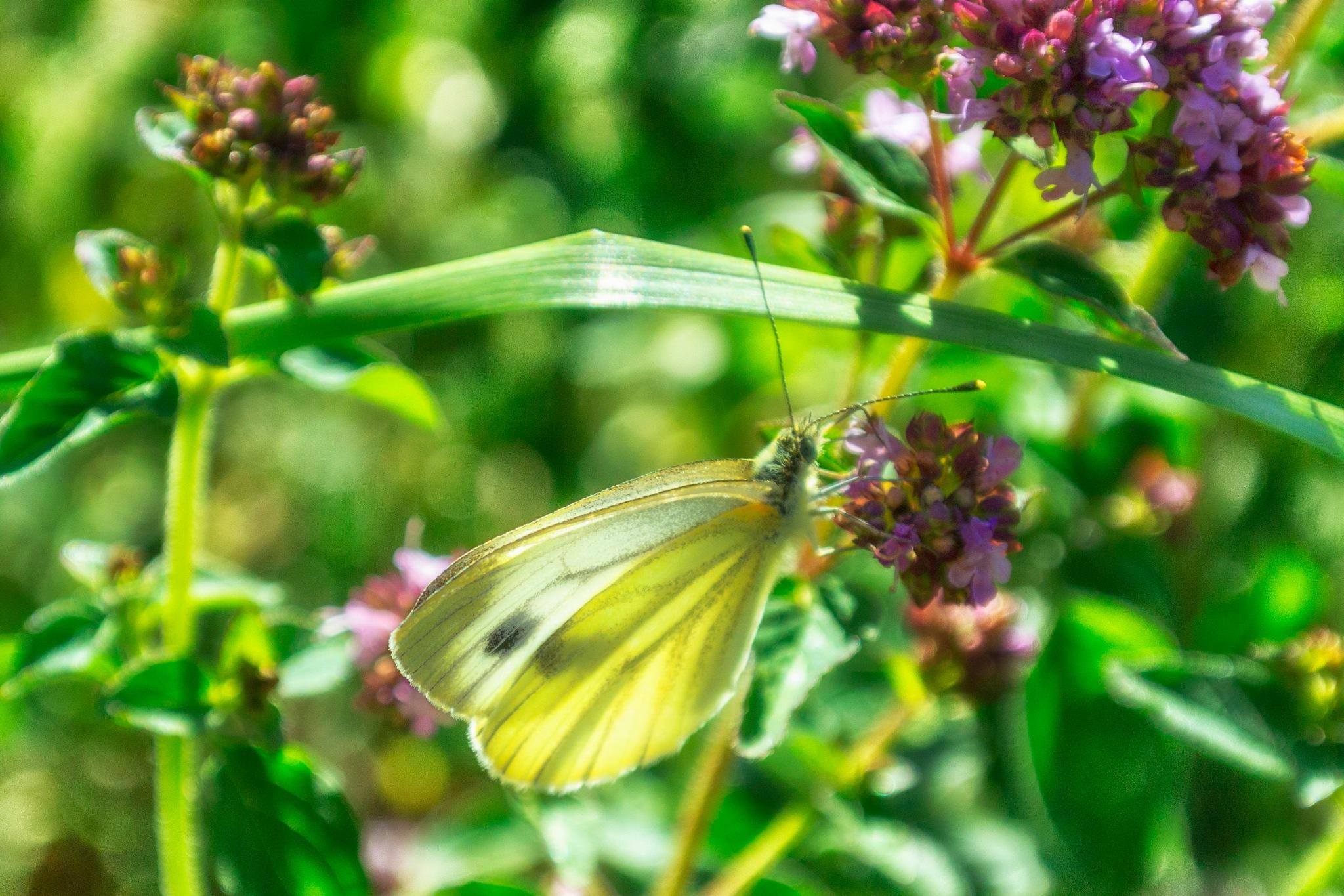 Butterfly II by carljan w carlsson