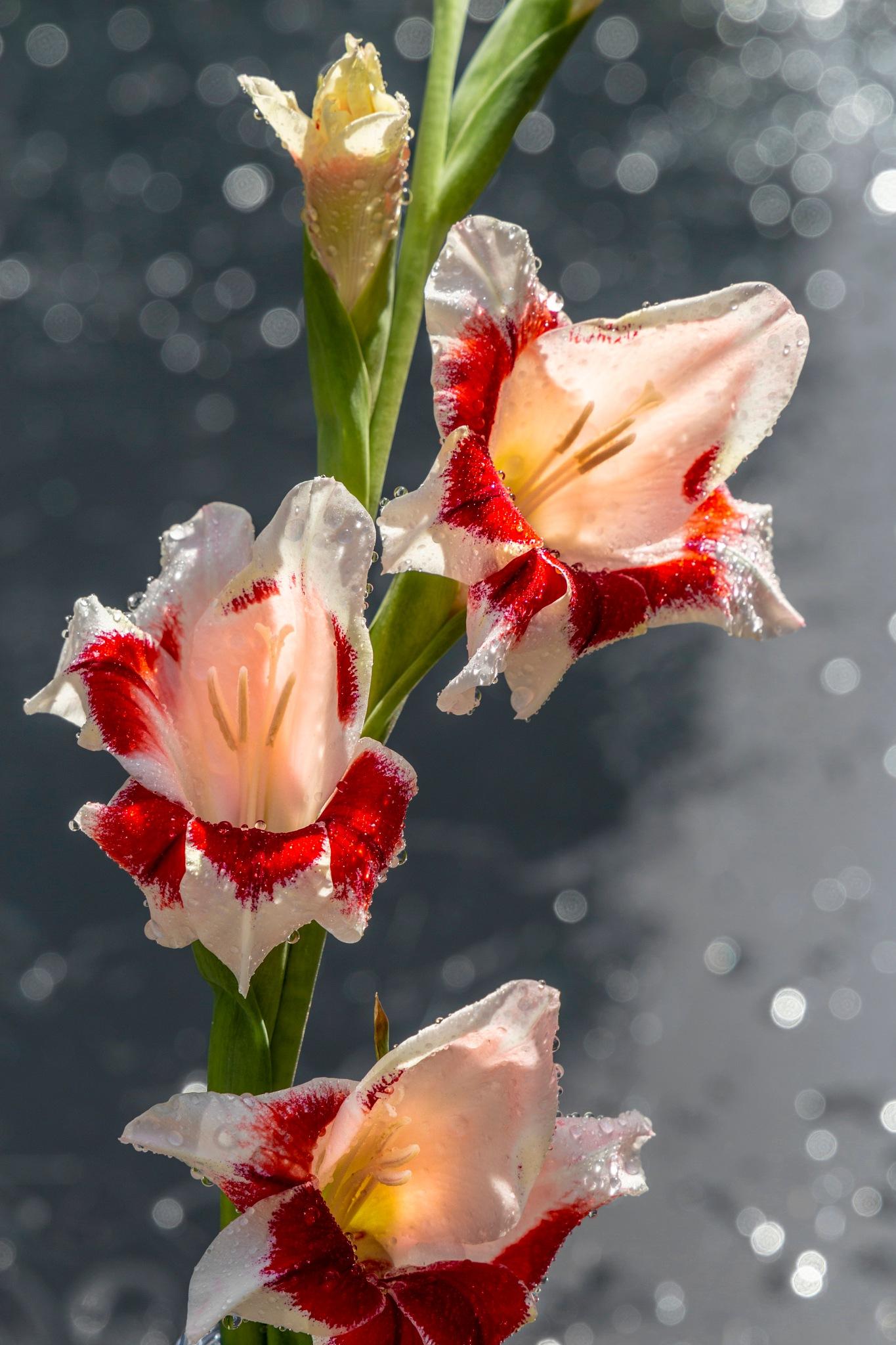Gladiolus by carljan w carlsson