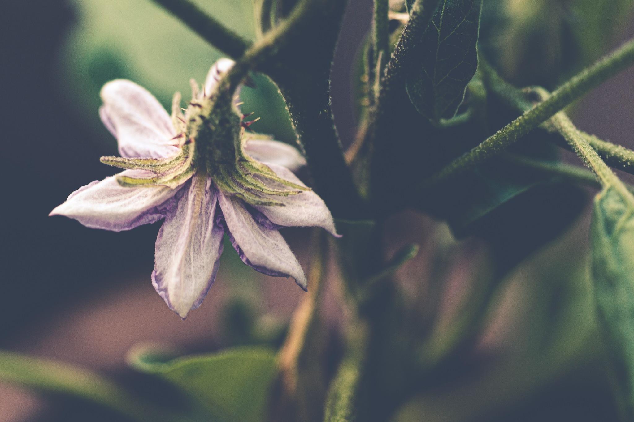 Aubergine Flower by carljan w carlsson
