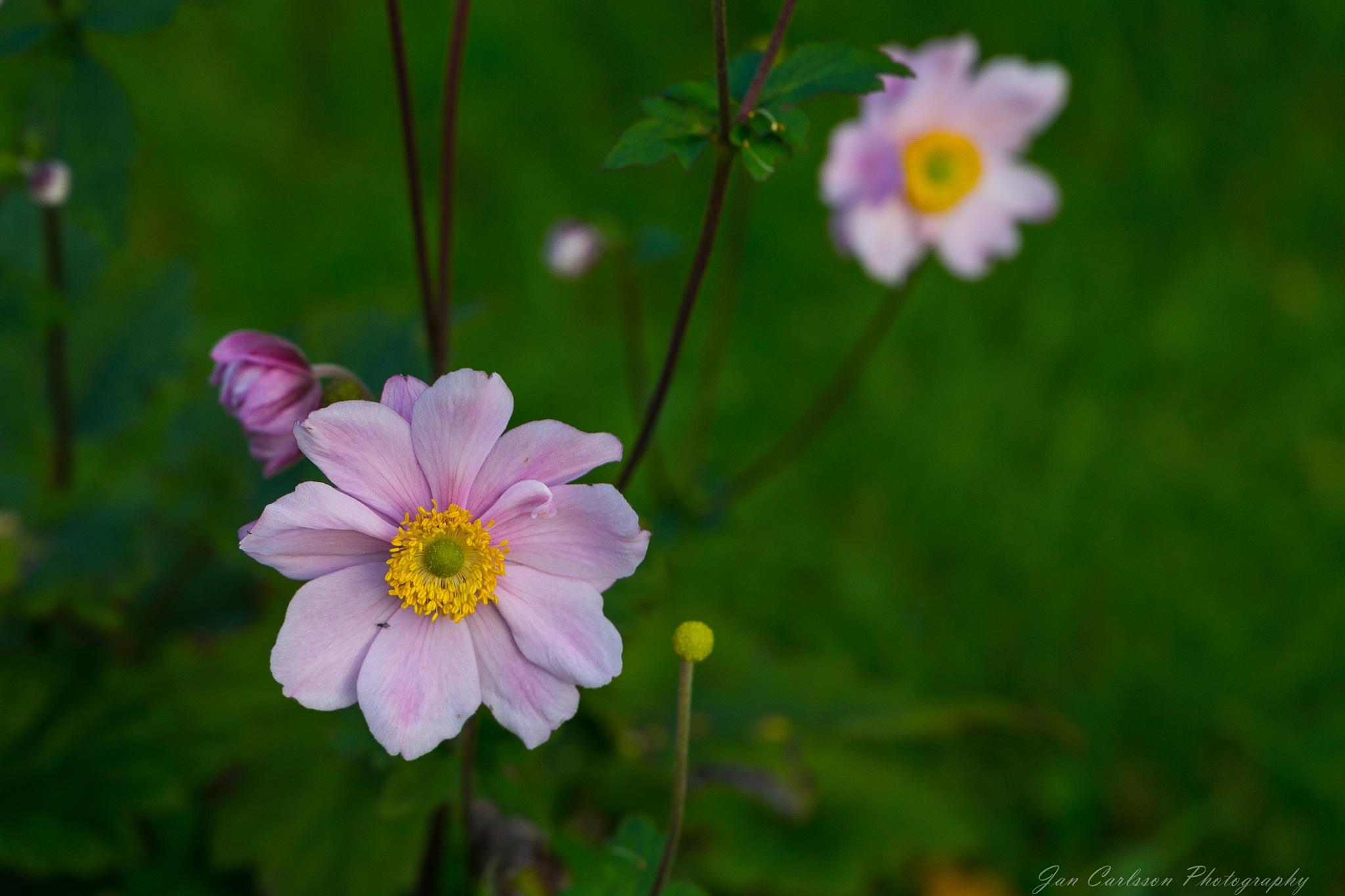 September Charm (Anemone hupehensis) by carljan w carlsson
