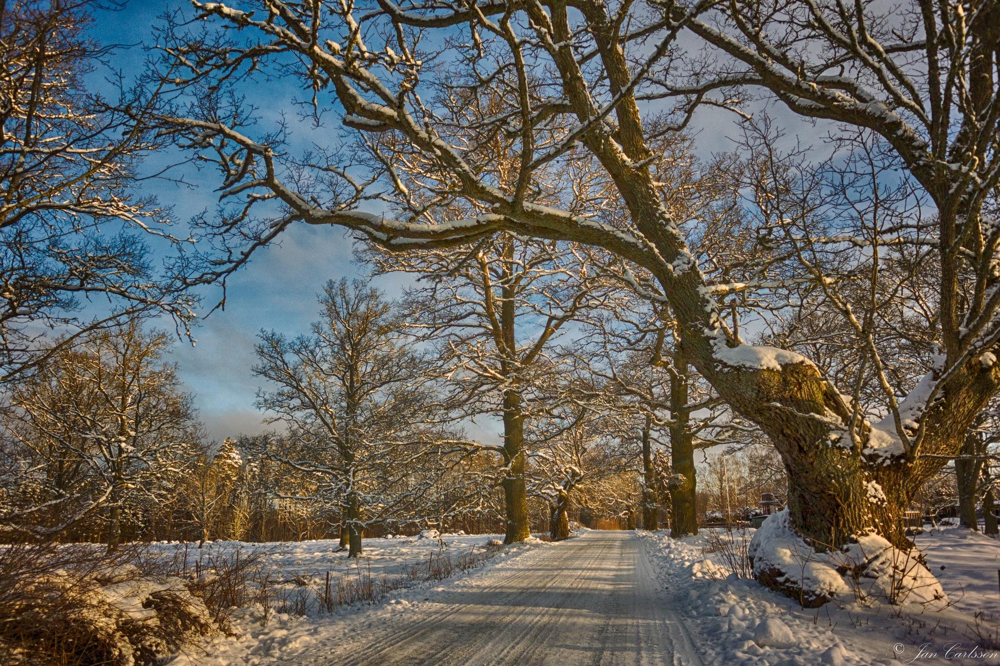 Old Oak Tree by carljan w carlsson