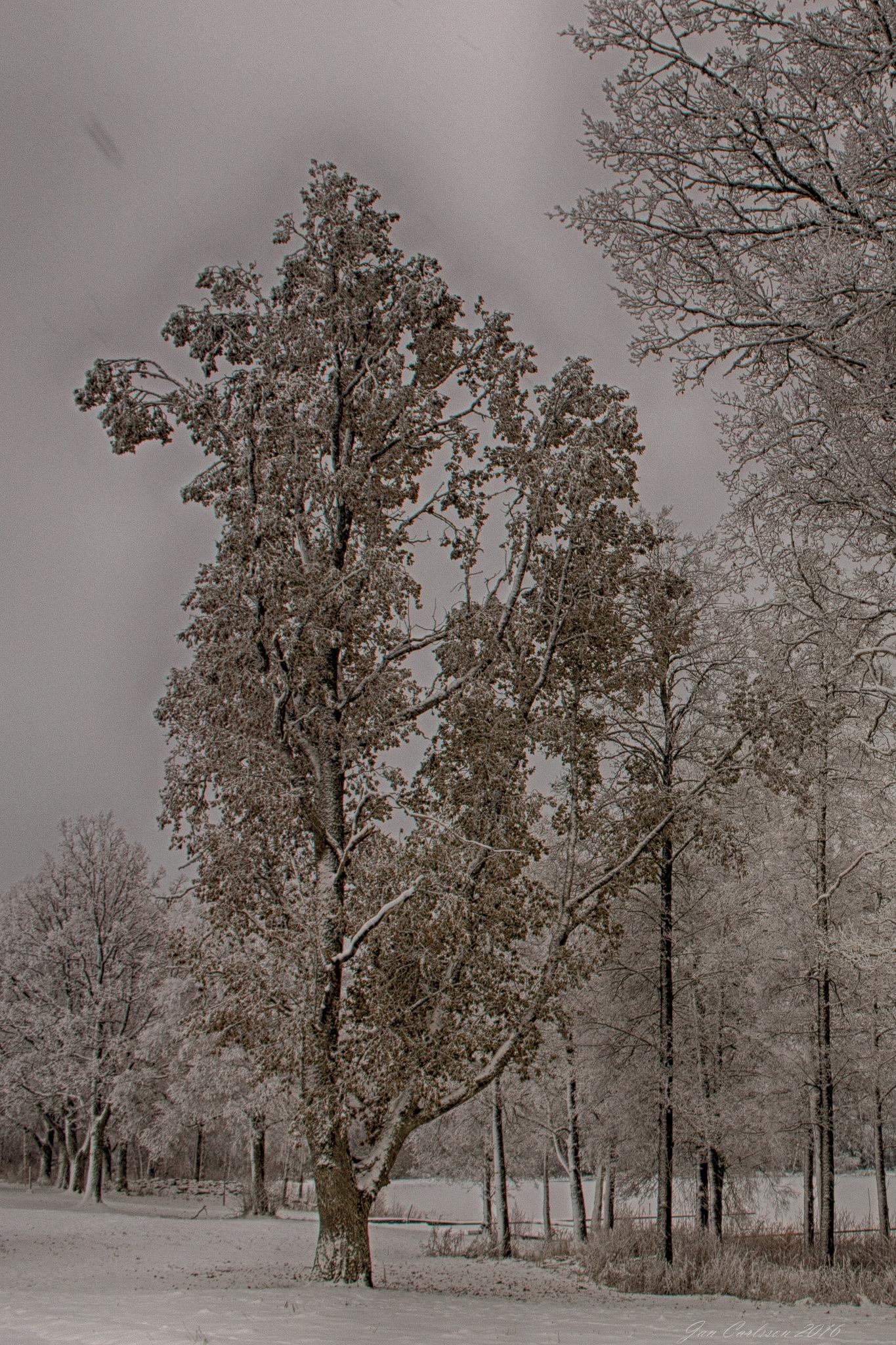 Winter Morning Trees by carljan w carlsson