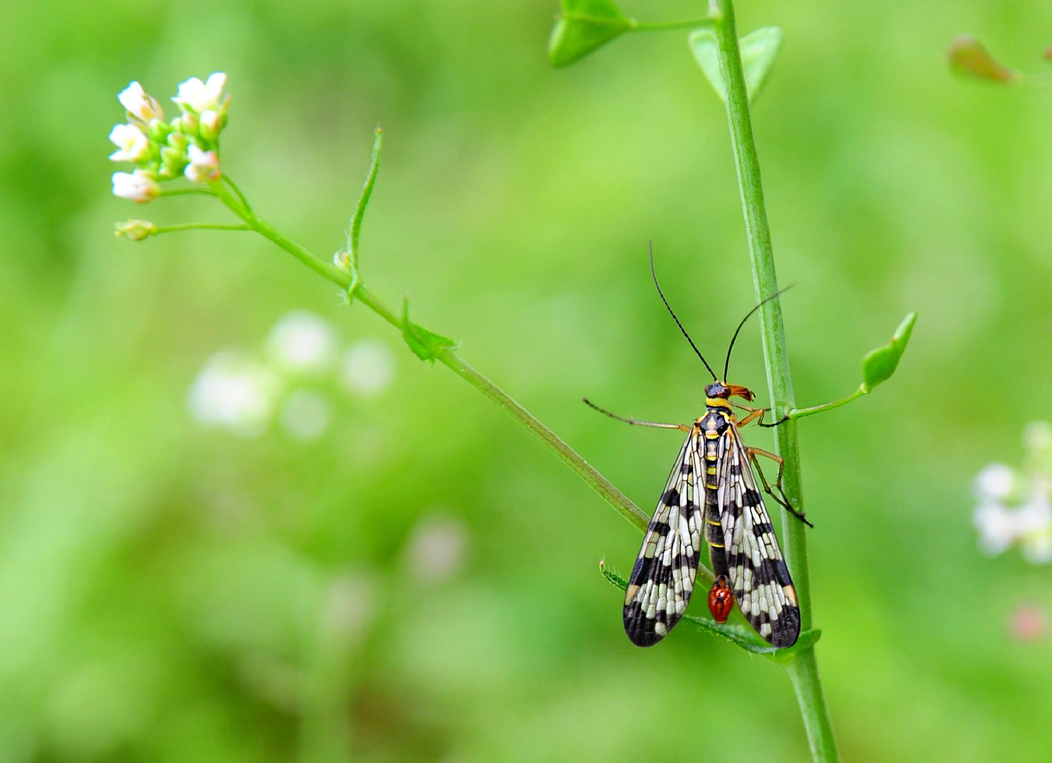 Scorpion Fly 2 (Mecoptera Panorpa Japonica) by Blondul
