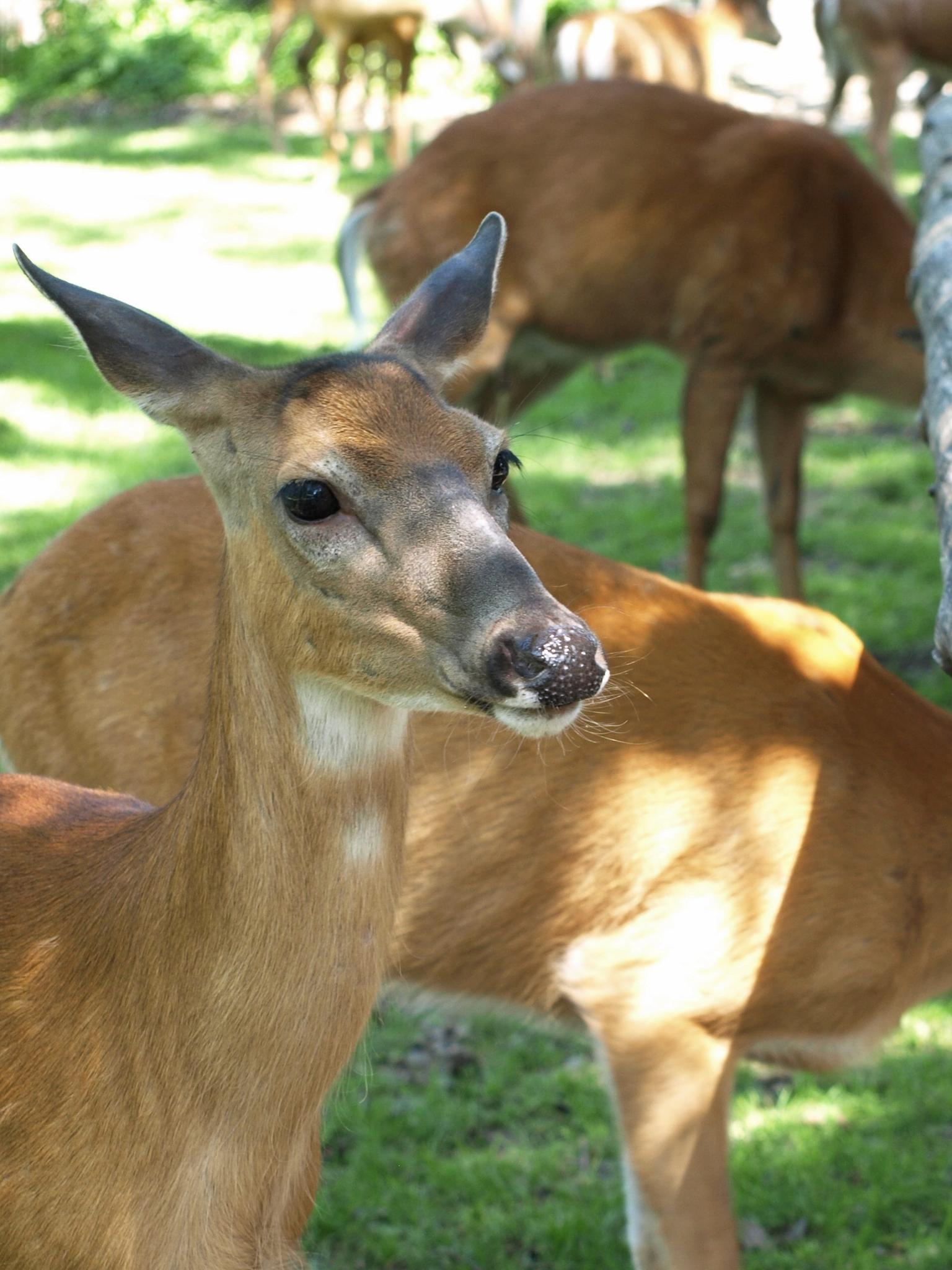 Deer grazing by photofly/Holly