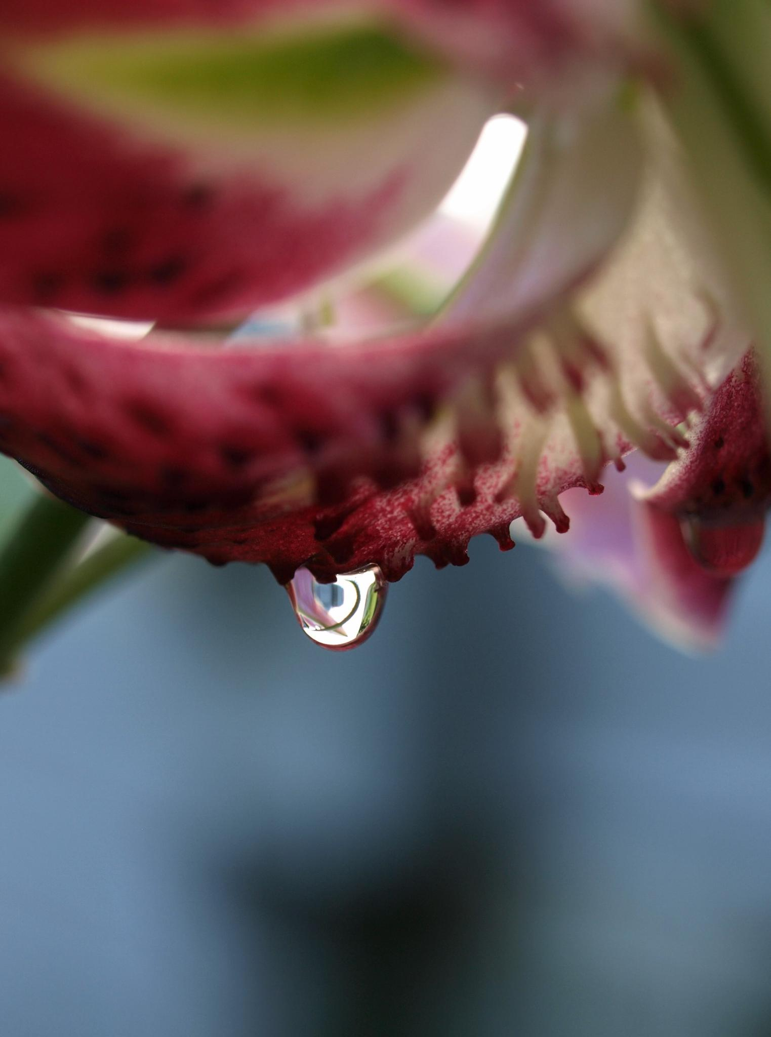 Droplet on a Lily by photofly/Holly