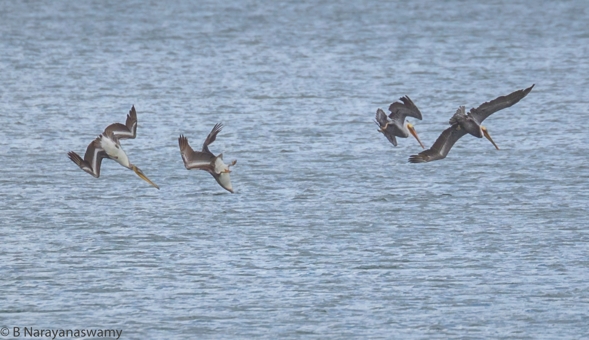 Synchronised Dive by 4 brown Pelicans of Americas by B Narayanaswamy