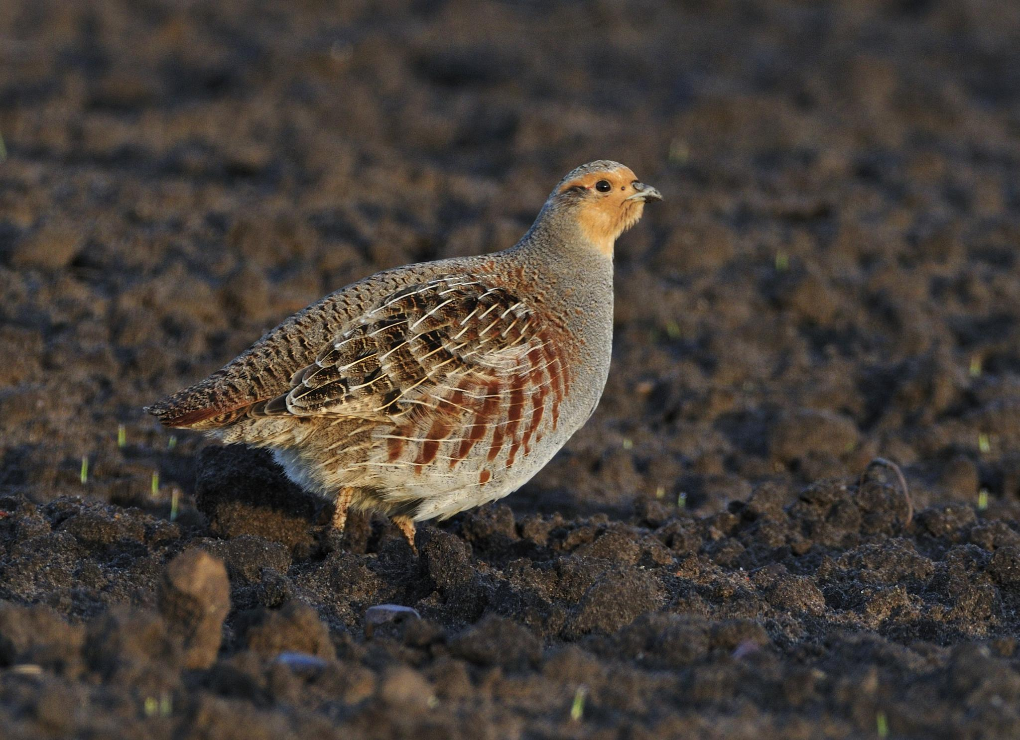Partridge in early morning light by Göran Gustafson