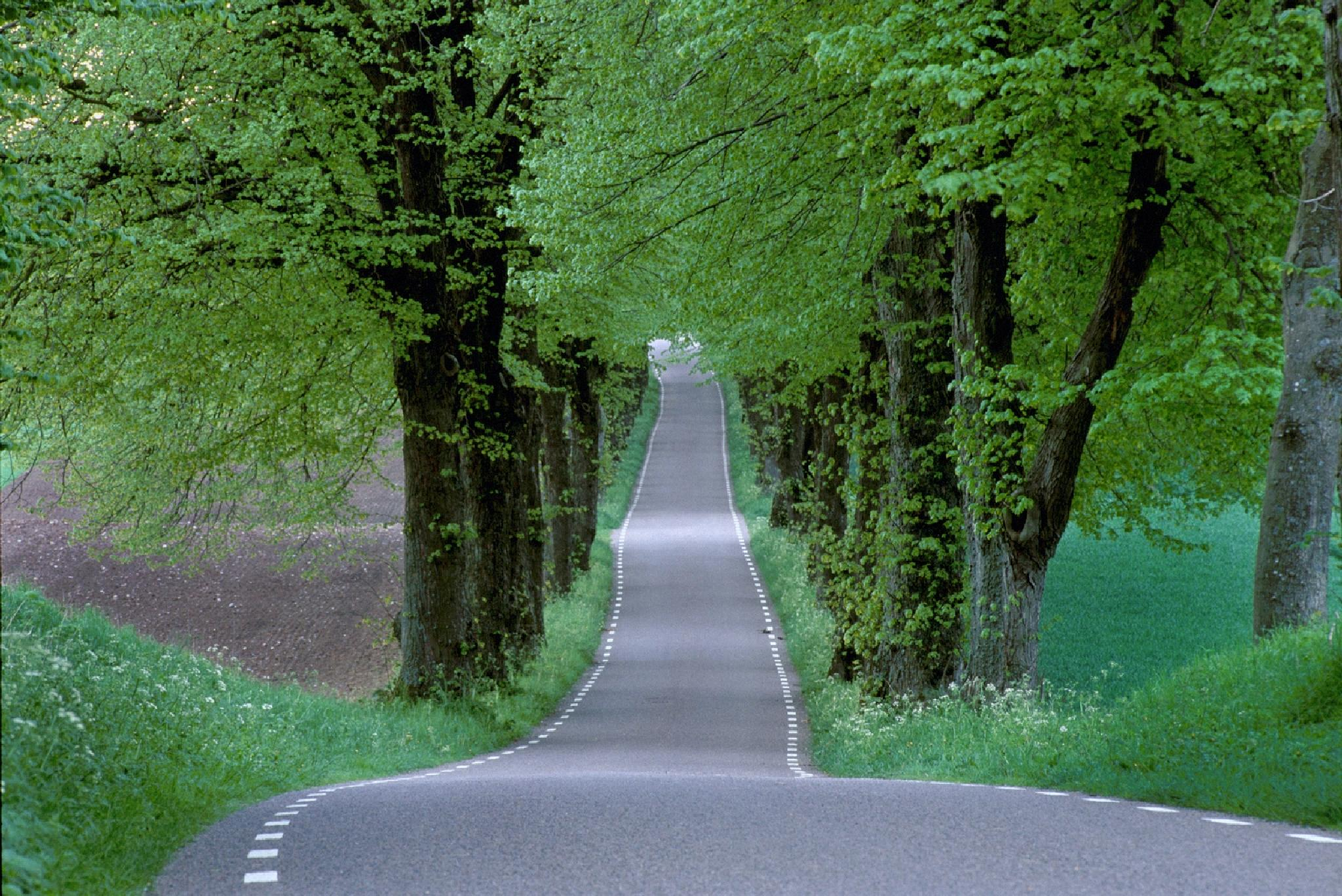 Lime avenue in spring by Göran Gustafson