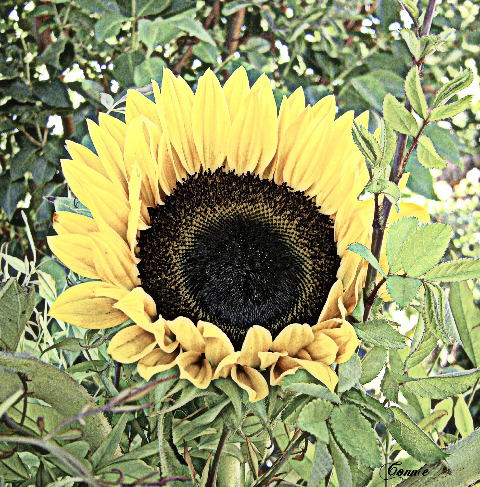 Giant Sunflower days by connie