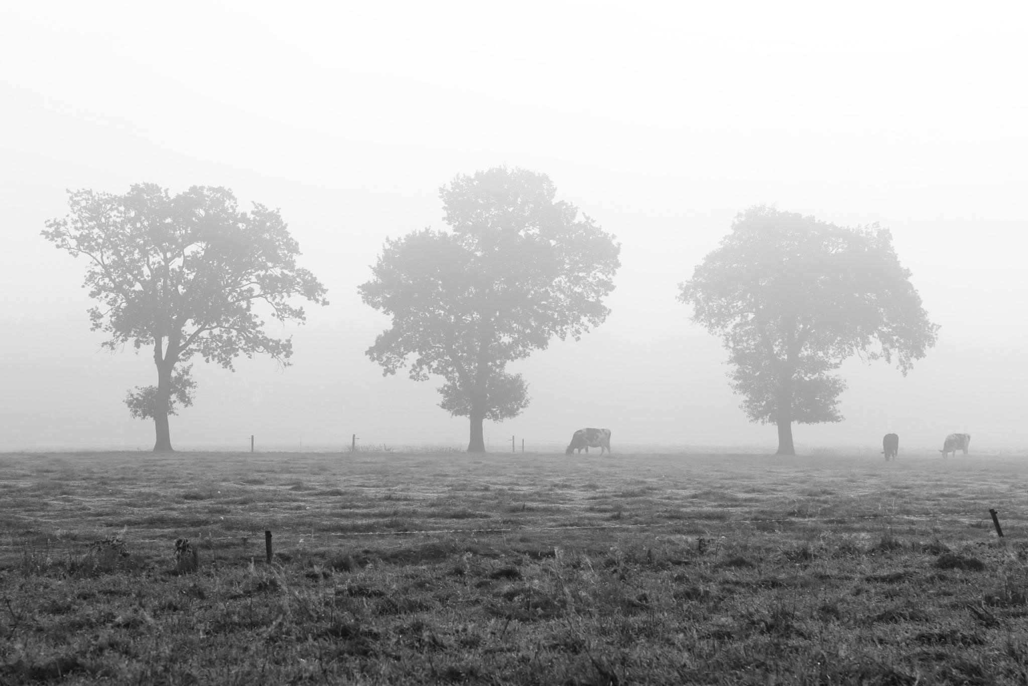 Foggy dutch cows by Sjoerd Weiland