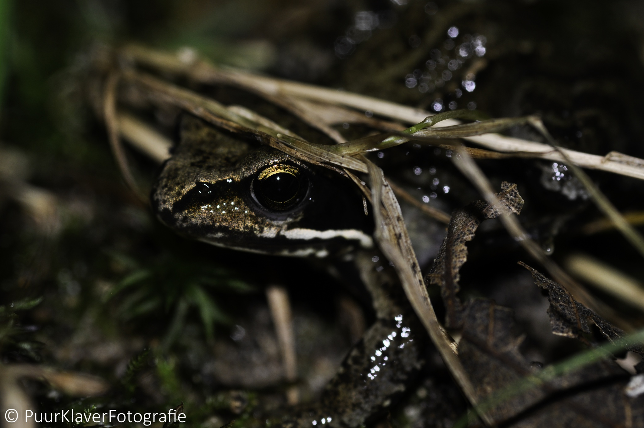 Baby frog by Puurklaver