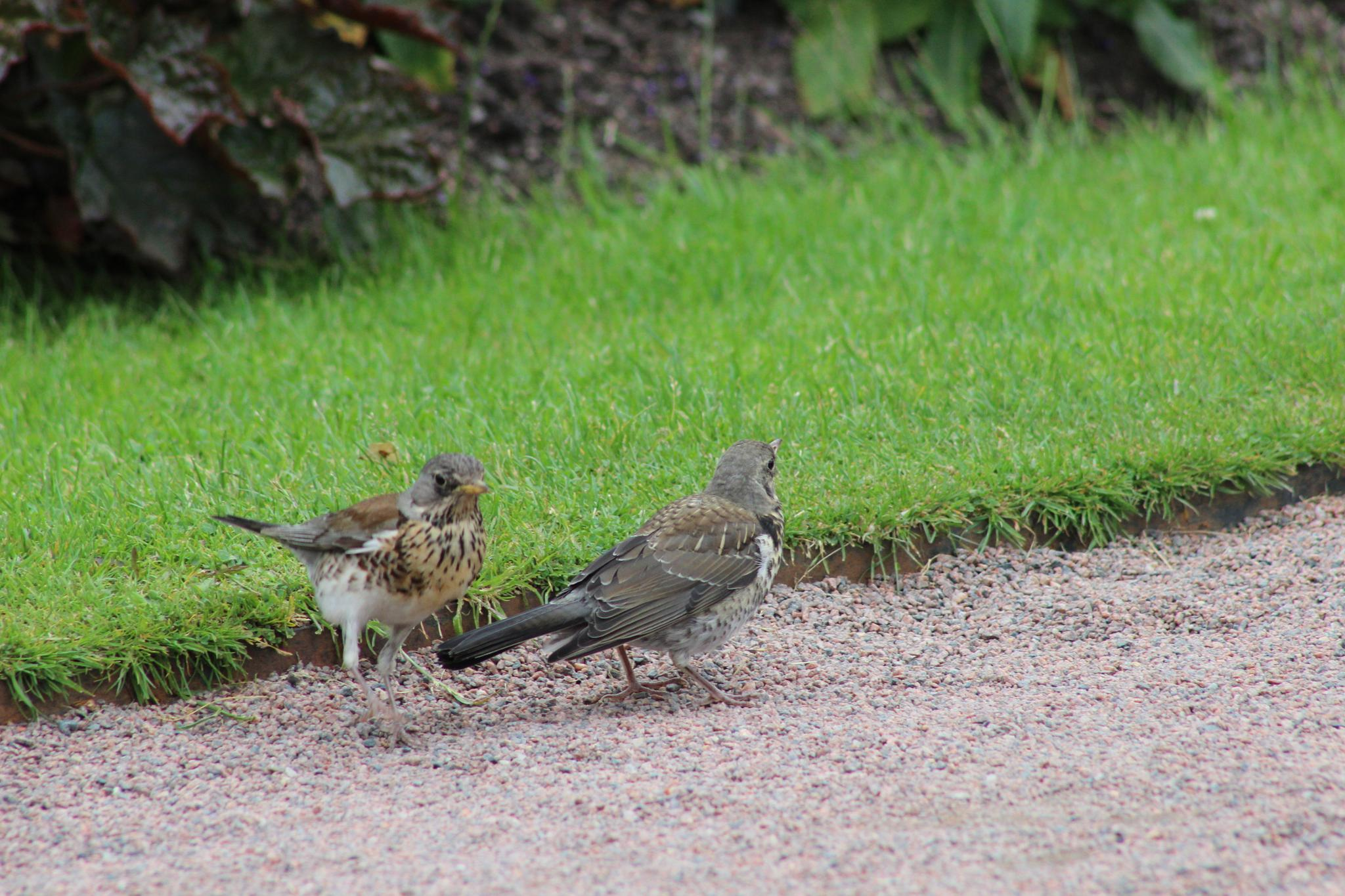 Two Fieldfares by heidi.svahn1