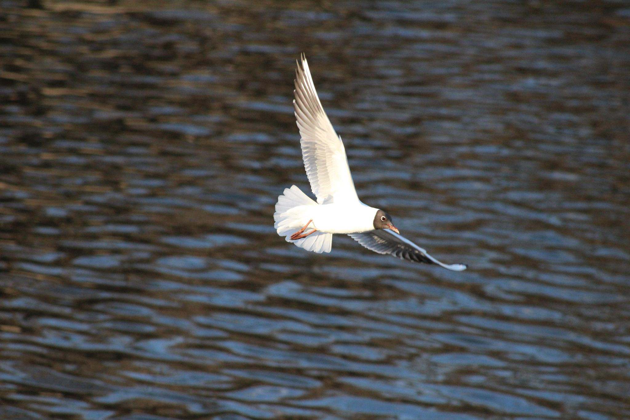 Black headed gull in flight. by Scorpy
