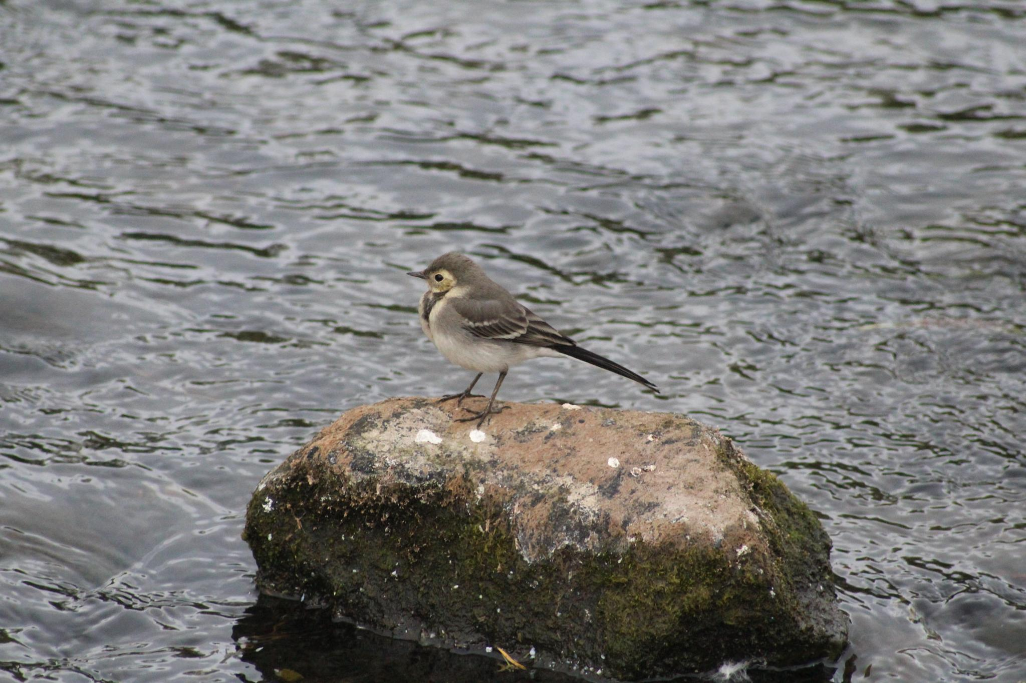 Young grey wagtail. by Scorpy