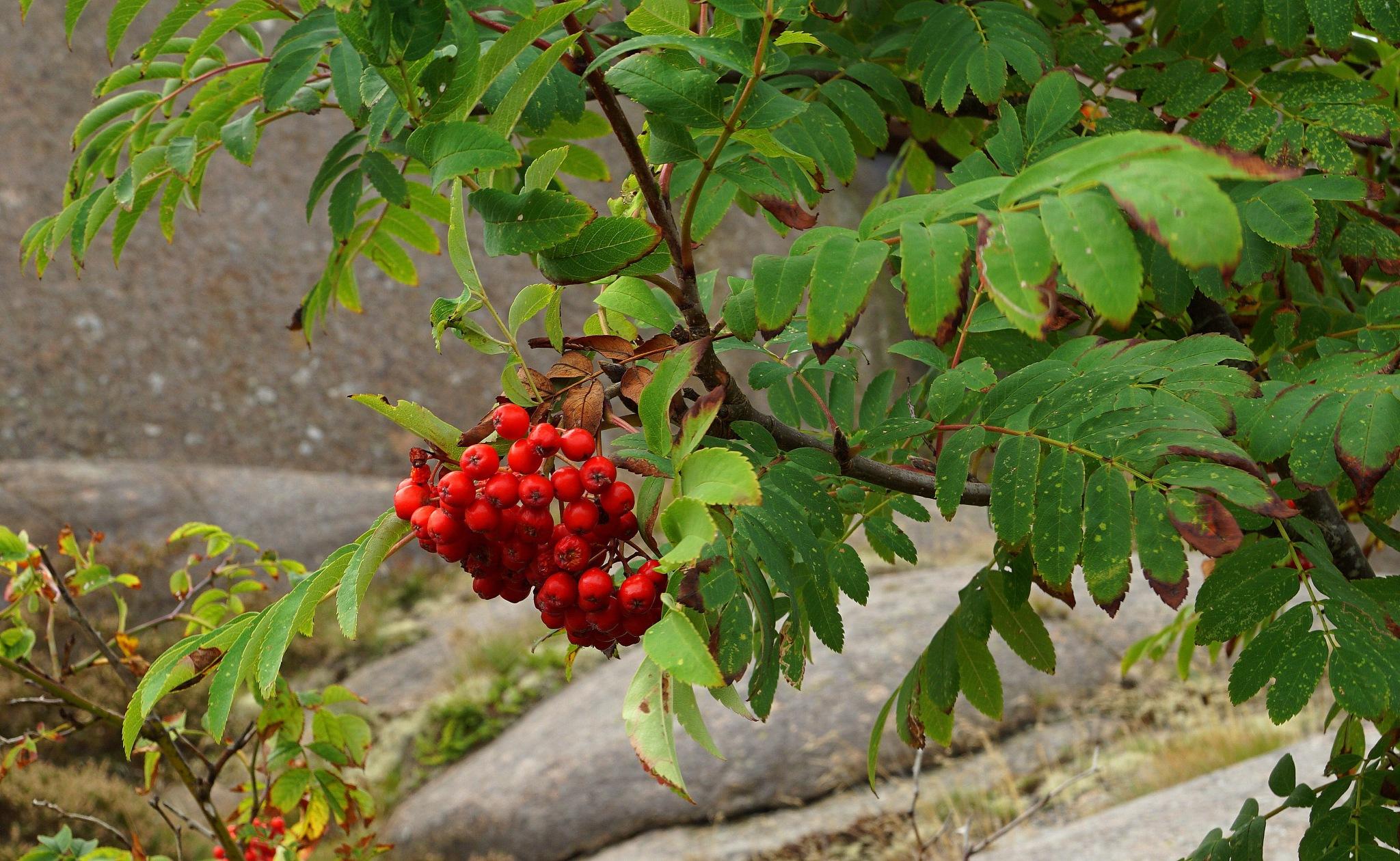 Berrys hanging like flower bouquets by susannemkarlsson