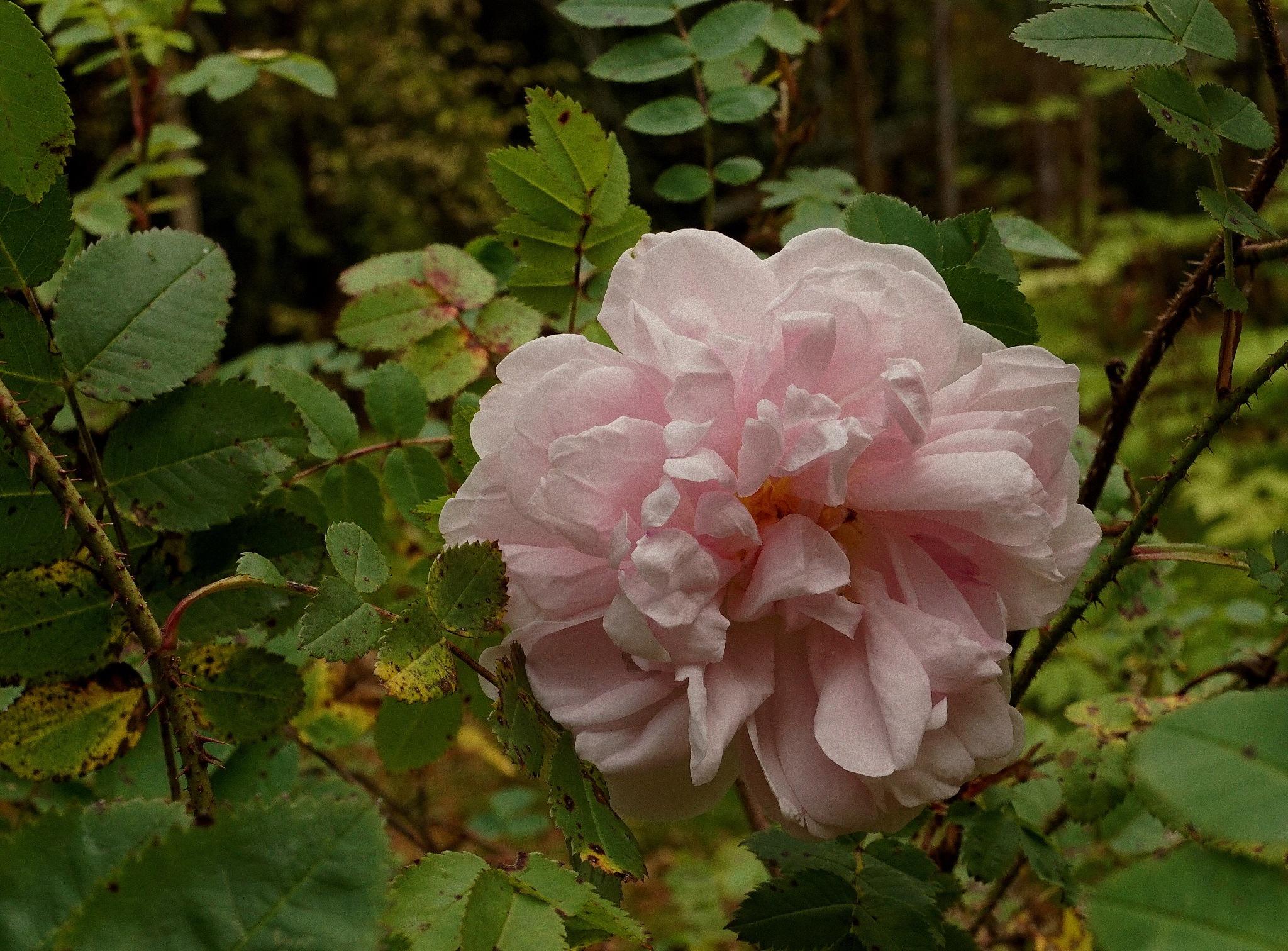 The last pale pink rose by susannemkarlsson