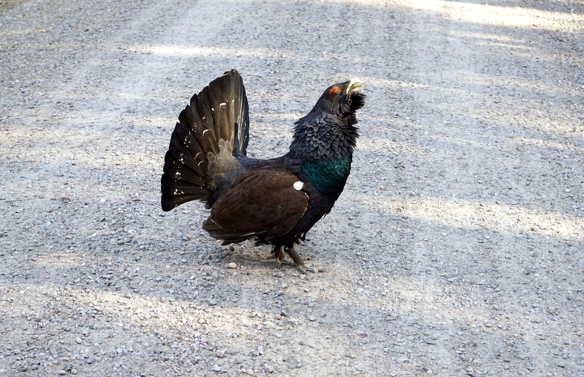 The capercaillie by susannemkarlsson