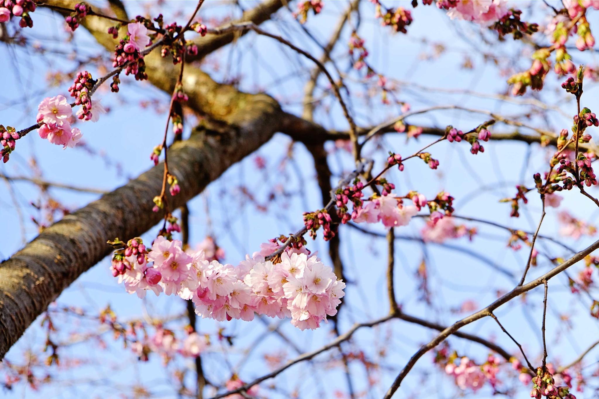 Cherry by mander