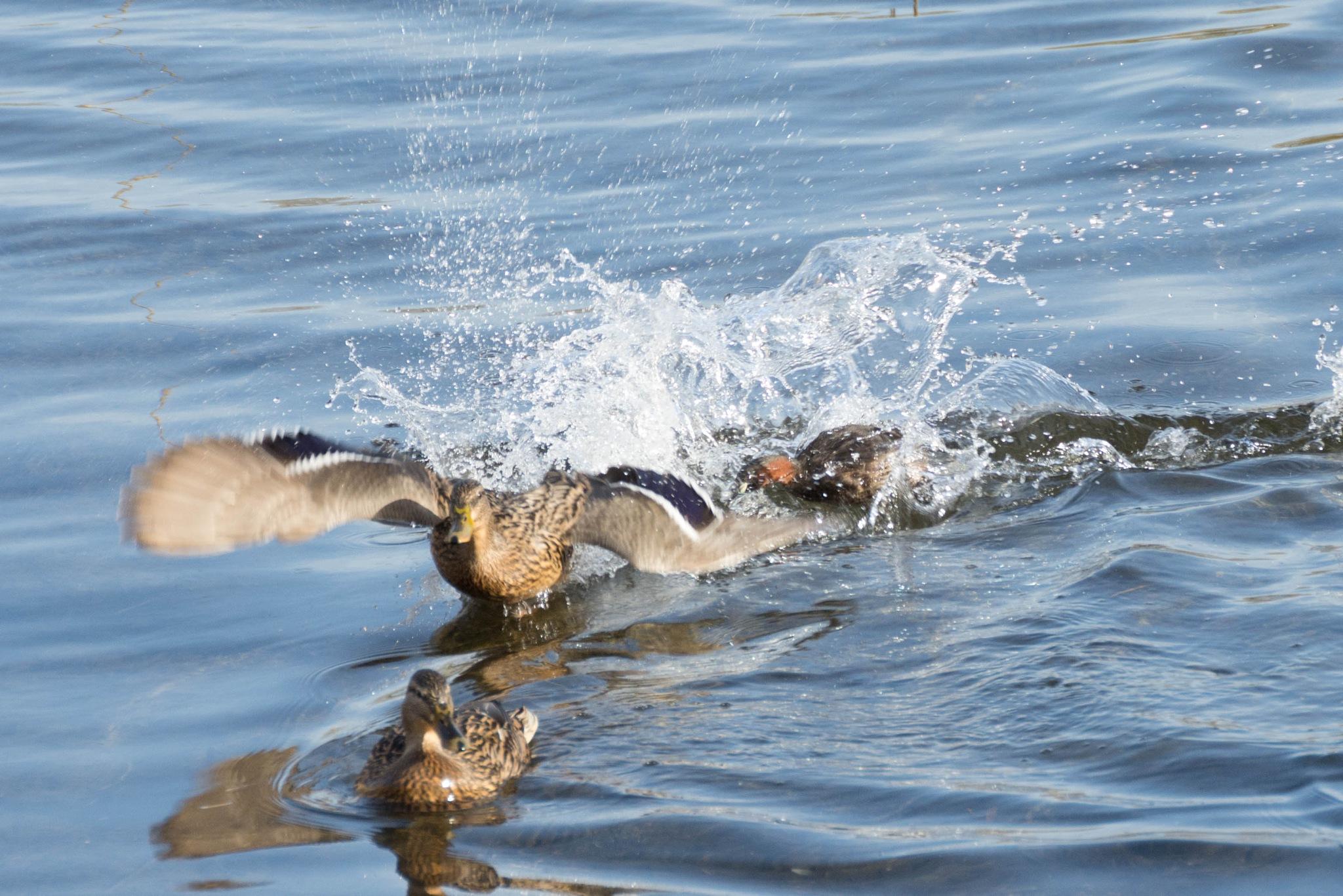 Little Grebe Chasing a Duck by Jockomorrocco