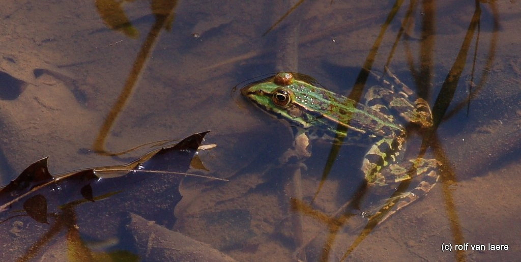 Photo in Animal #frog #pond #leafs