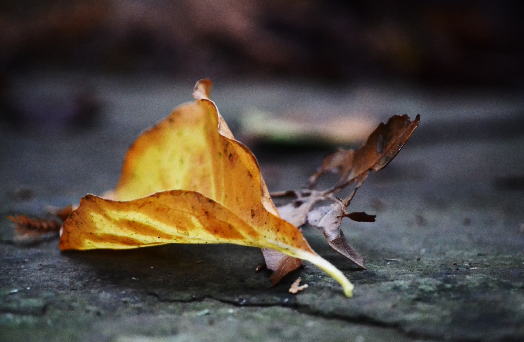 Two autum leaf's by kathycamirephotogallery