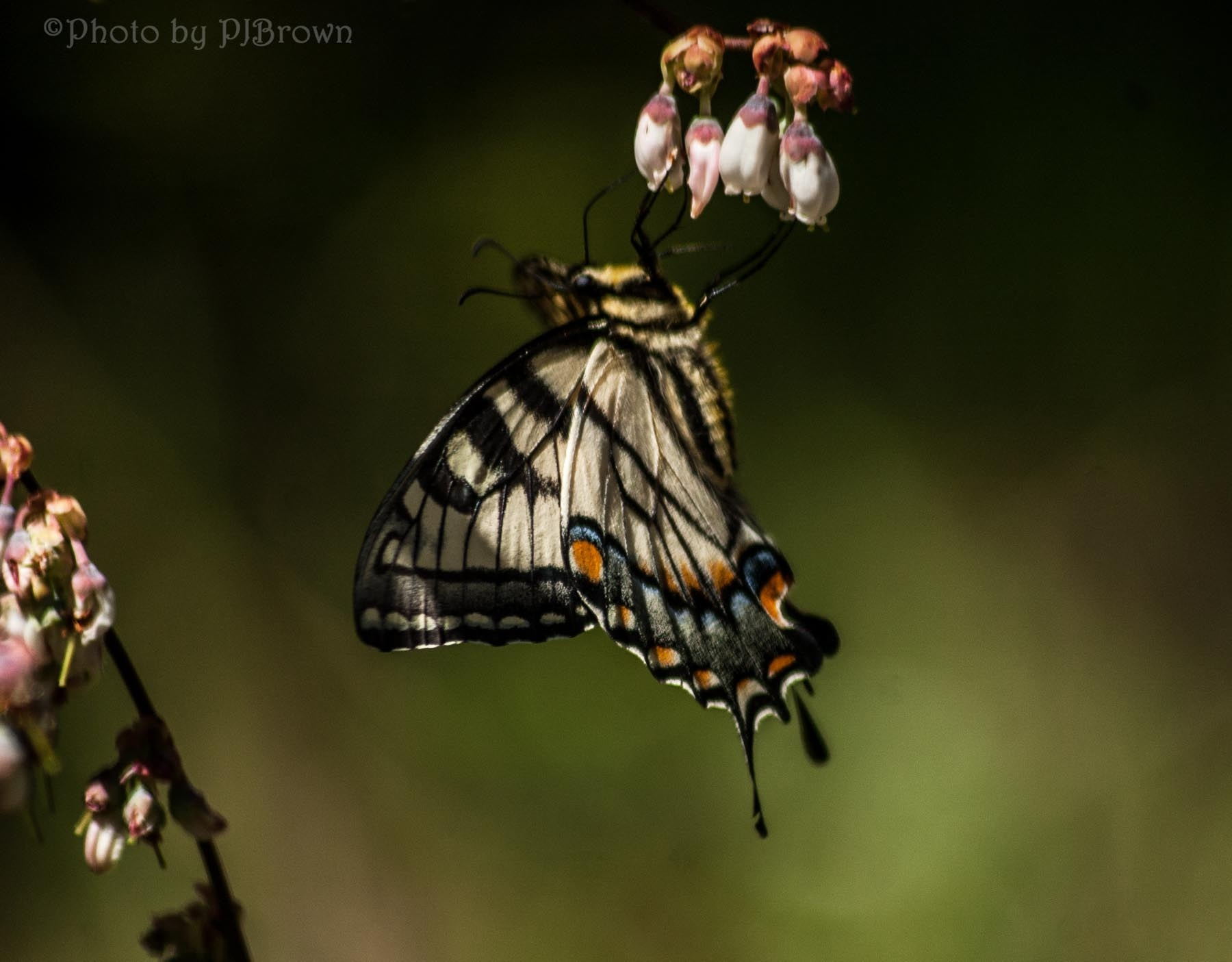 Agility and Grace! A Tiger Swallowtail on Blueberry blossoms! by revpaulvet