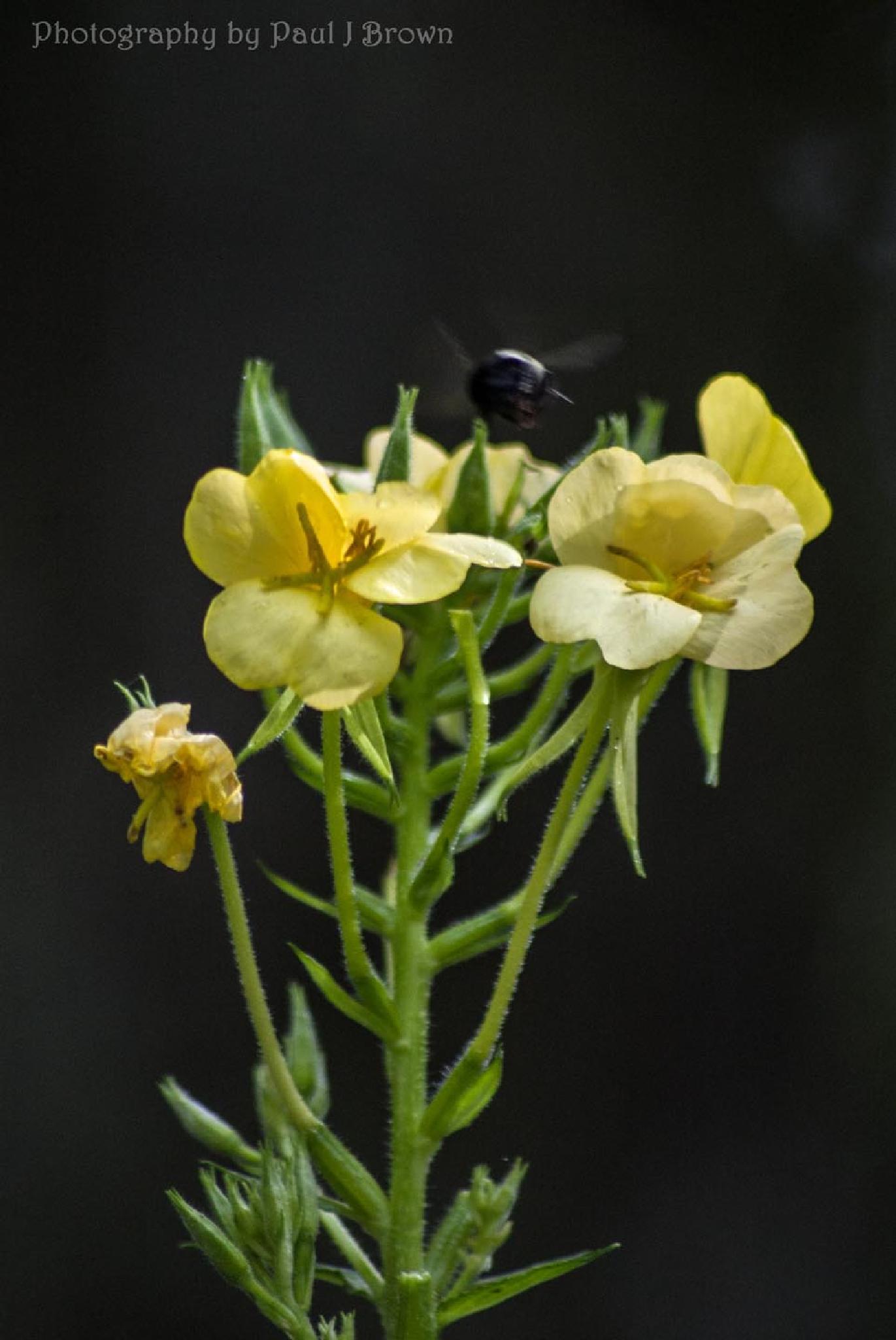 Evening Primrose - Oenothera biennis Little Chonga Rd - Macon County, NC by revpaulvet