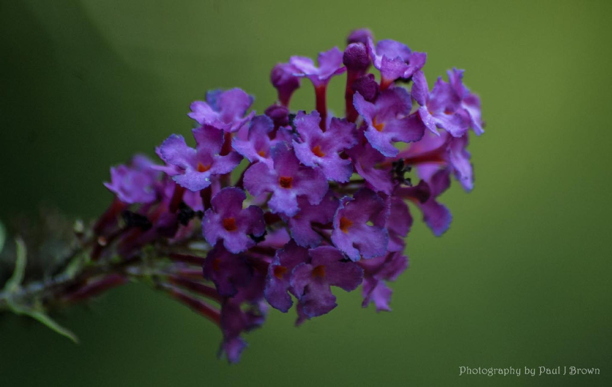 Butterfly Bush by revpaulvet