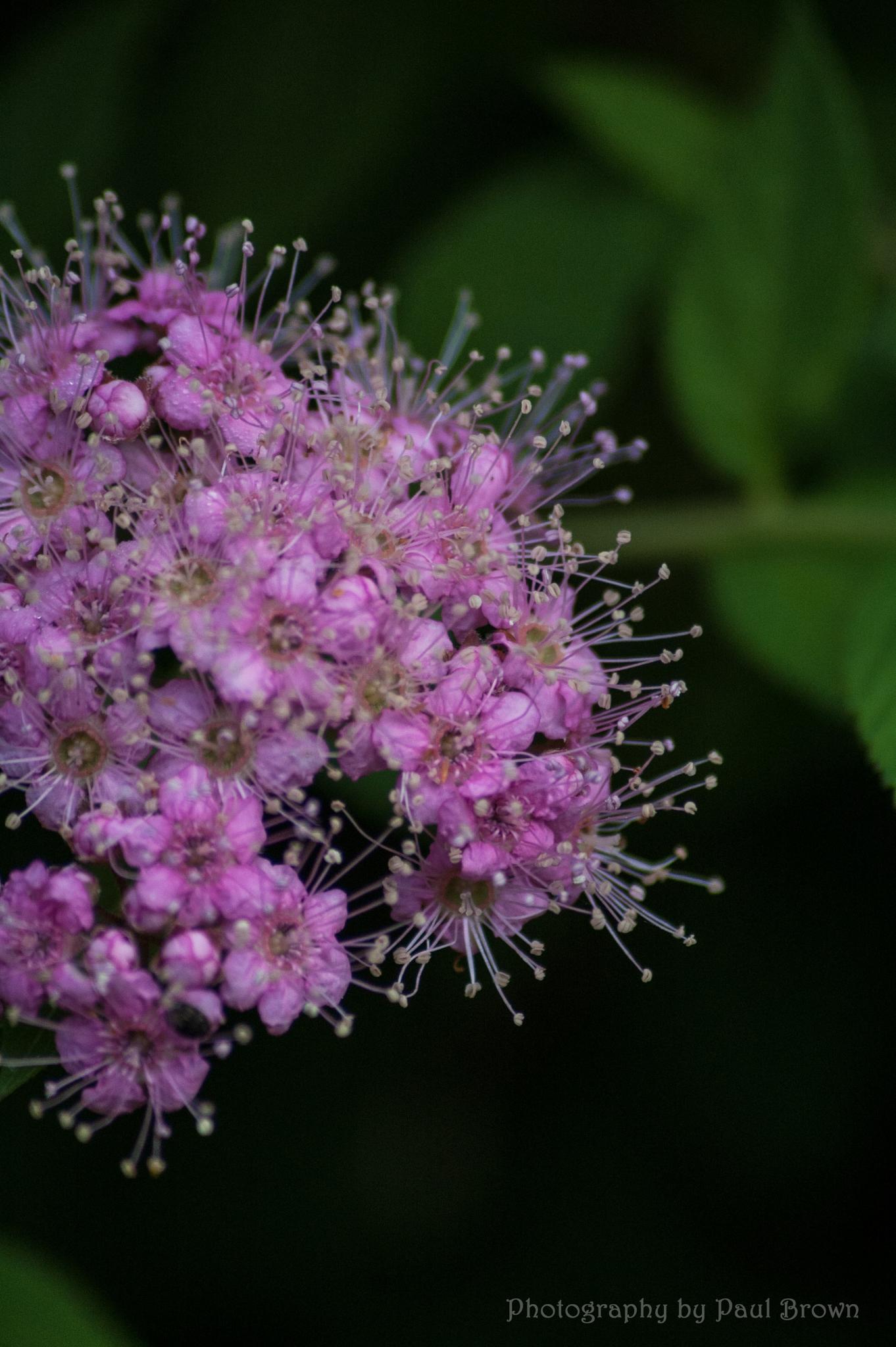 Spirea Flowers by revpaulvet