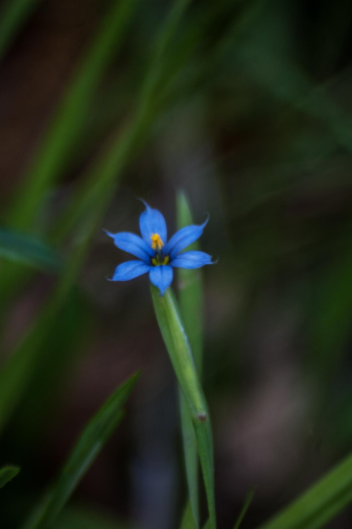 Blue Eyed Grass  by revpaulvet