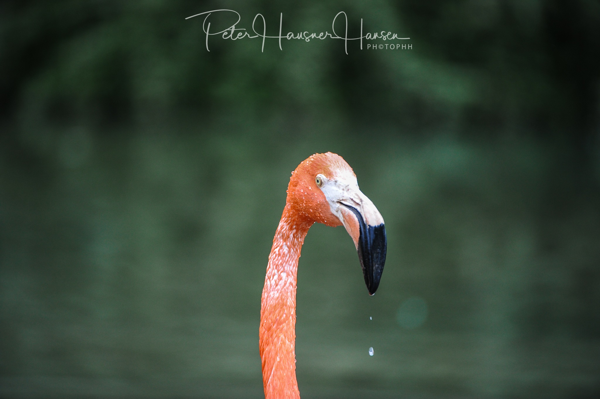 Flamingo  by PHOTOPHH.1