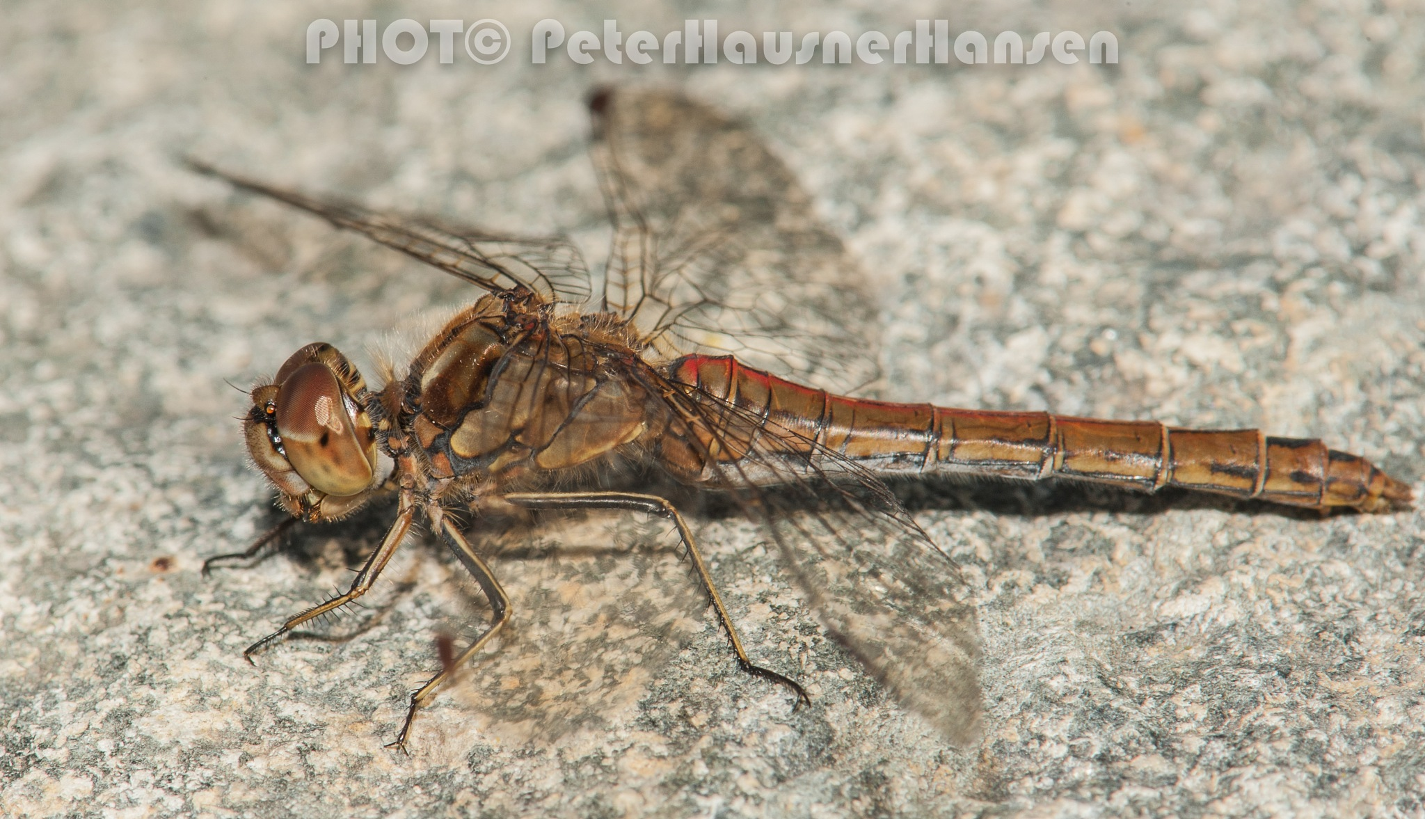 Dragonfly  by PHOTOPHH.1