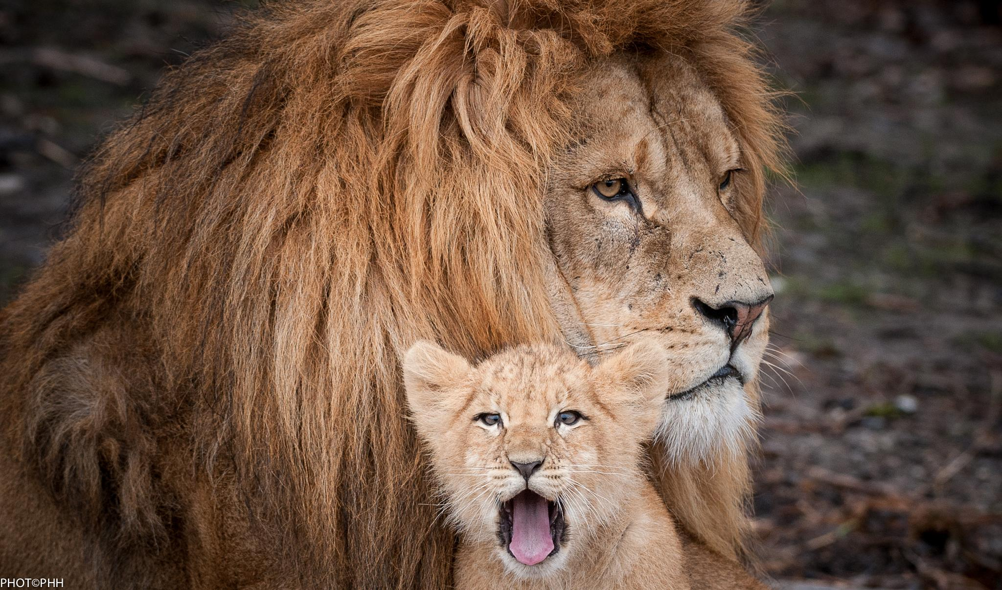 Lions by PHOTOPHH.1