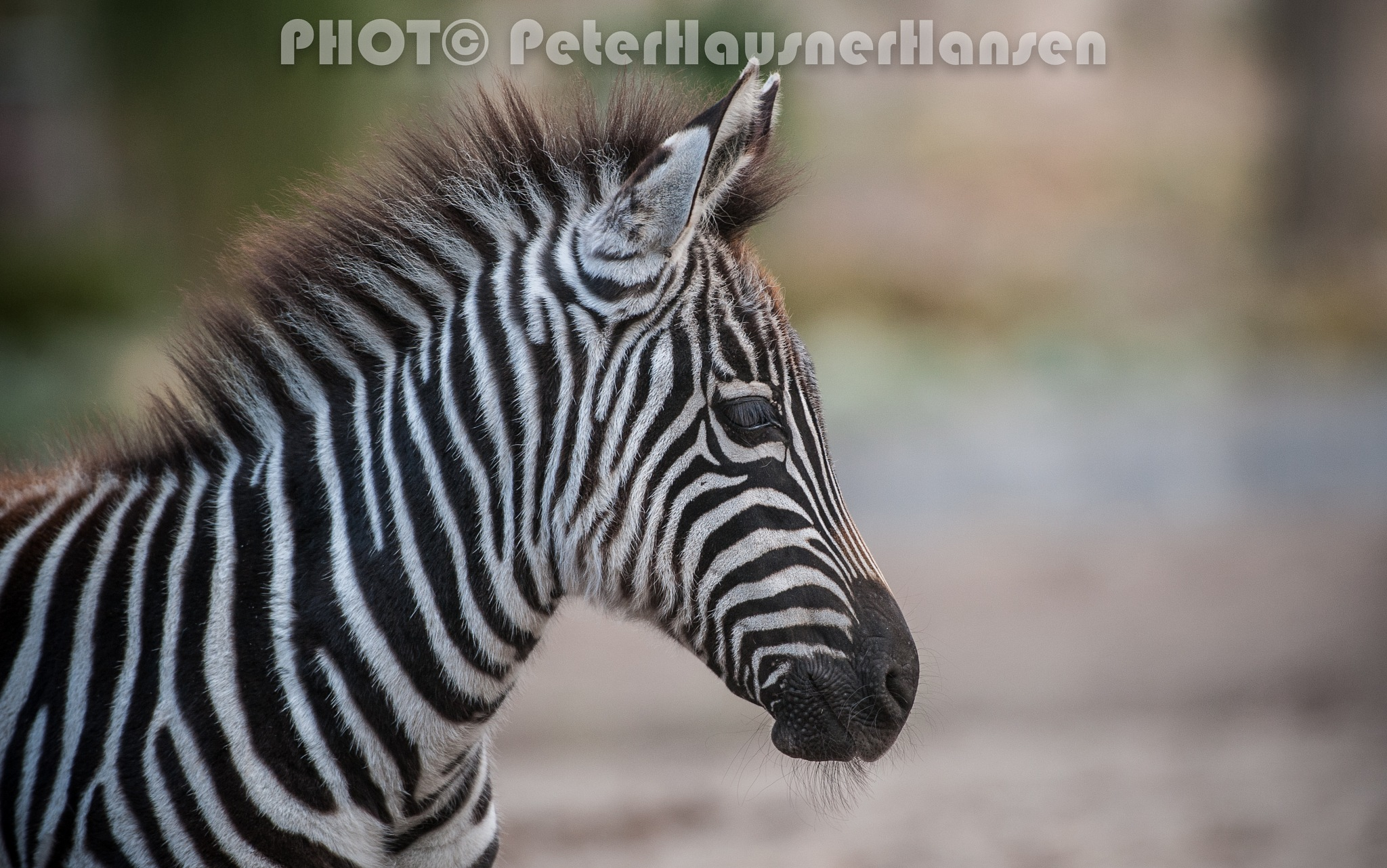 Young Zebra  by PHOTOPHH.1