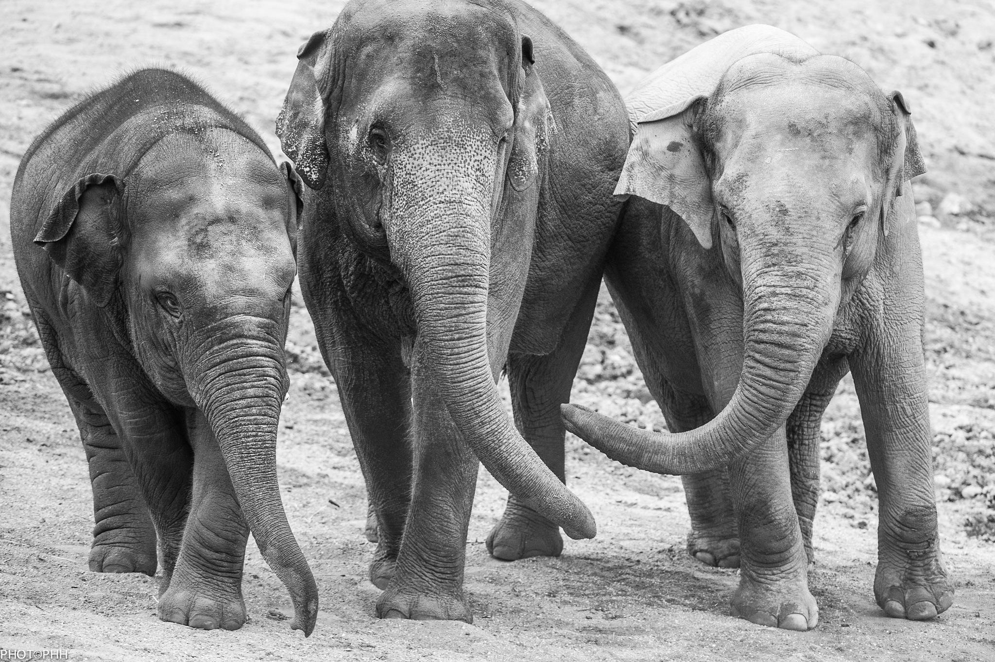 Elephants by PHOTOPHH.1