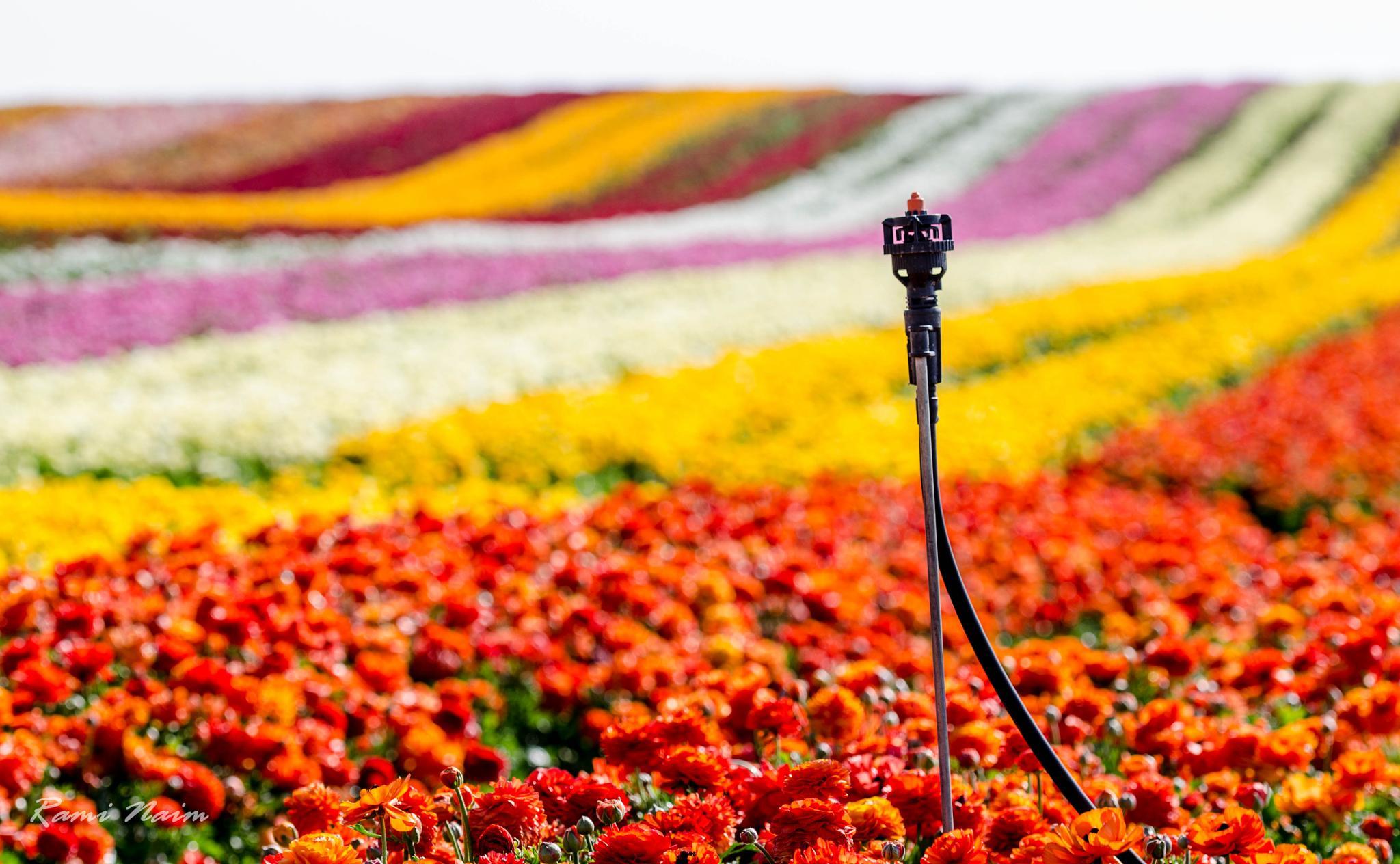 פרחים by raminaim