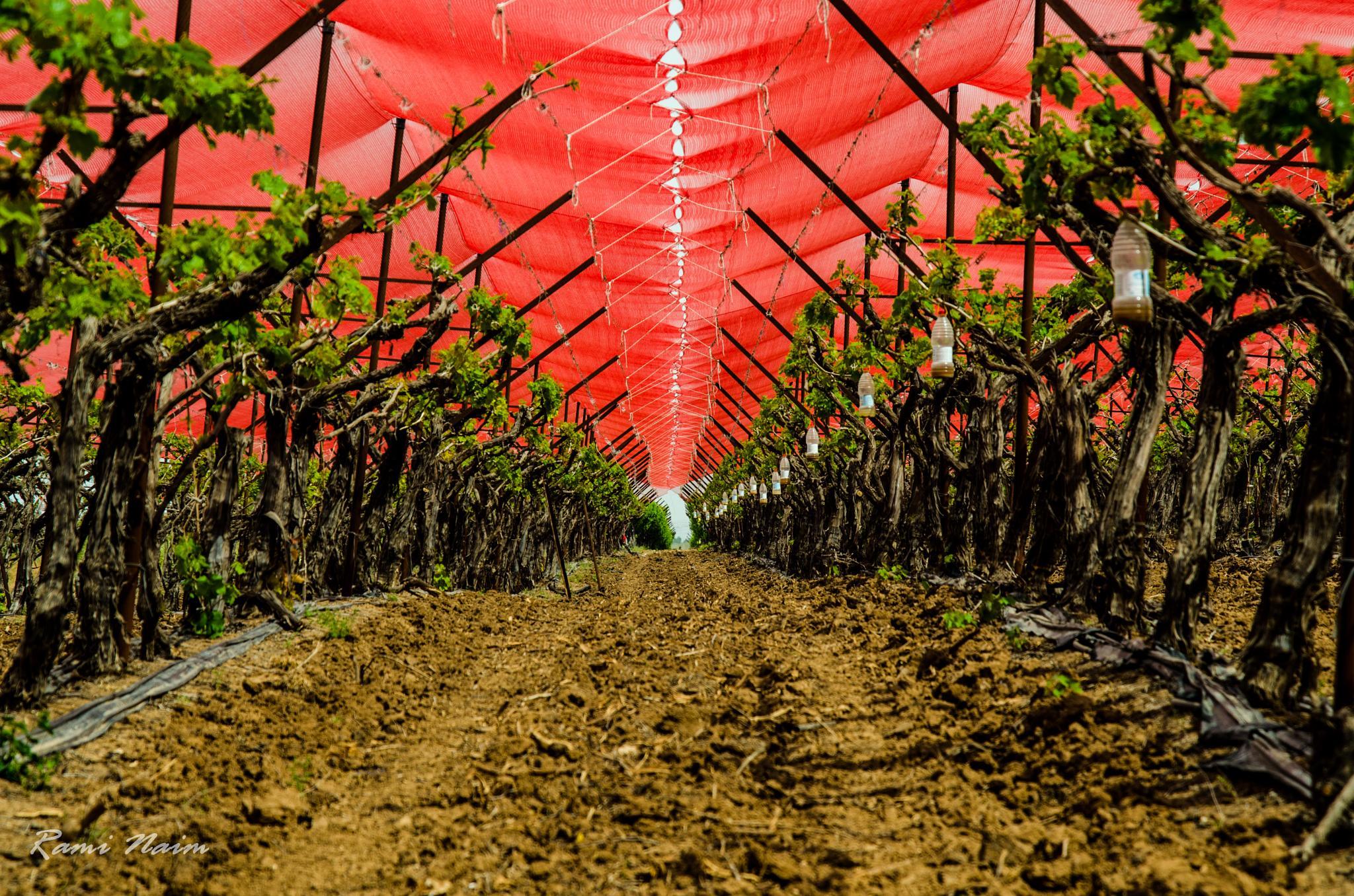 Young Vineyard by raminaim