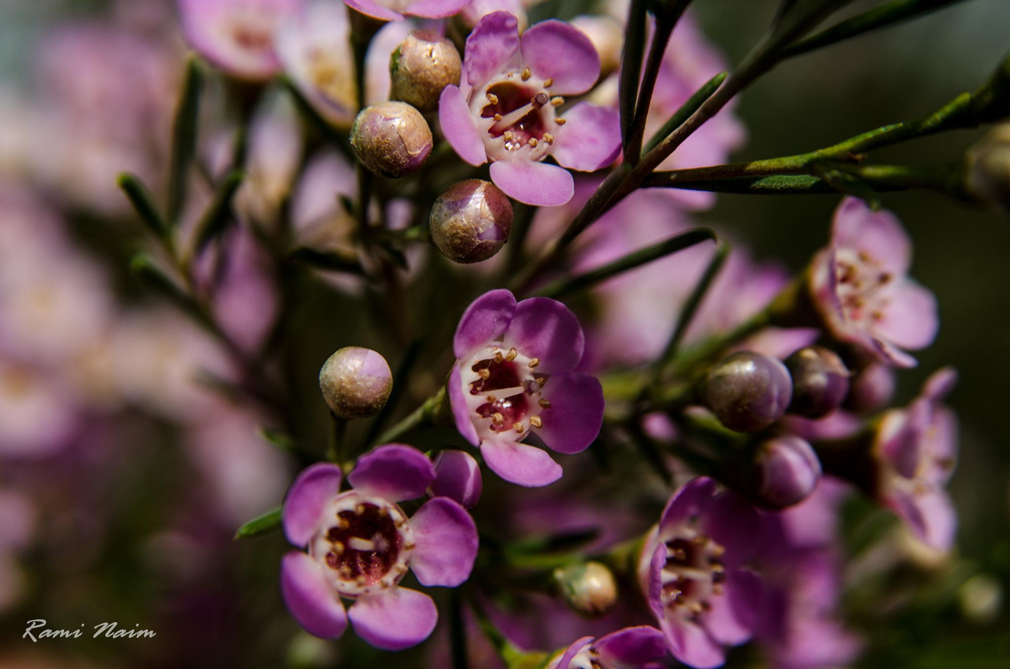 Light purple .. by raminaim